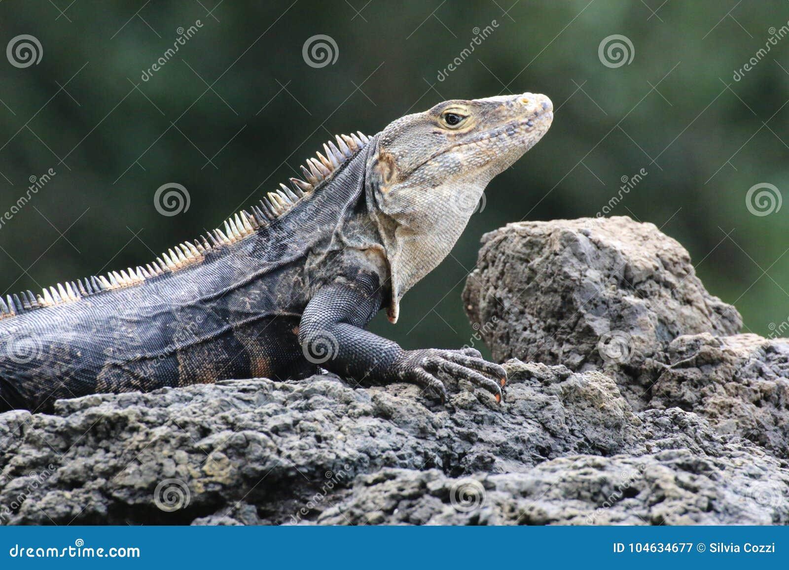 Download Leguaan, Costa Rica stock afbeelding. Afbeelding bestaande uit biodiversiteit - 104634677