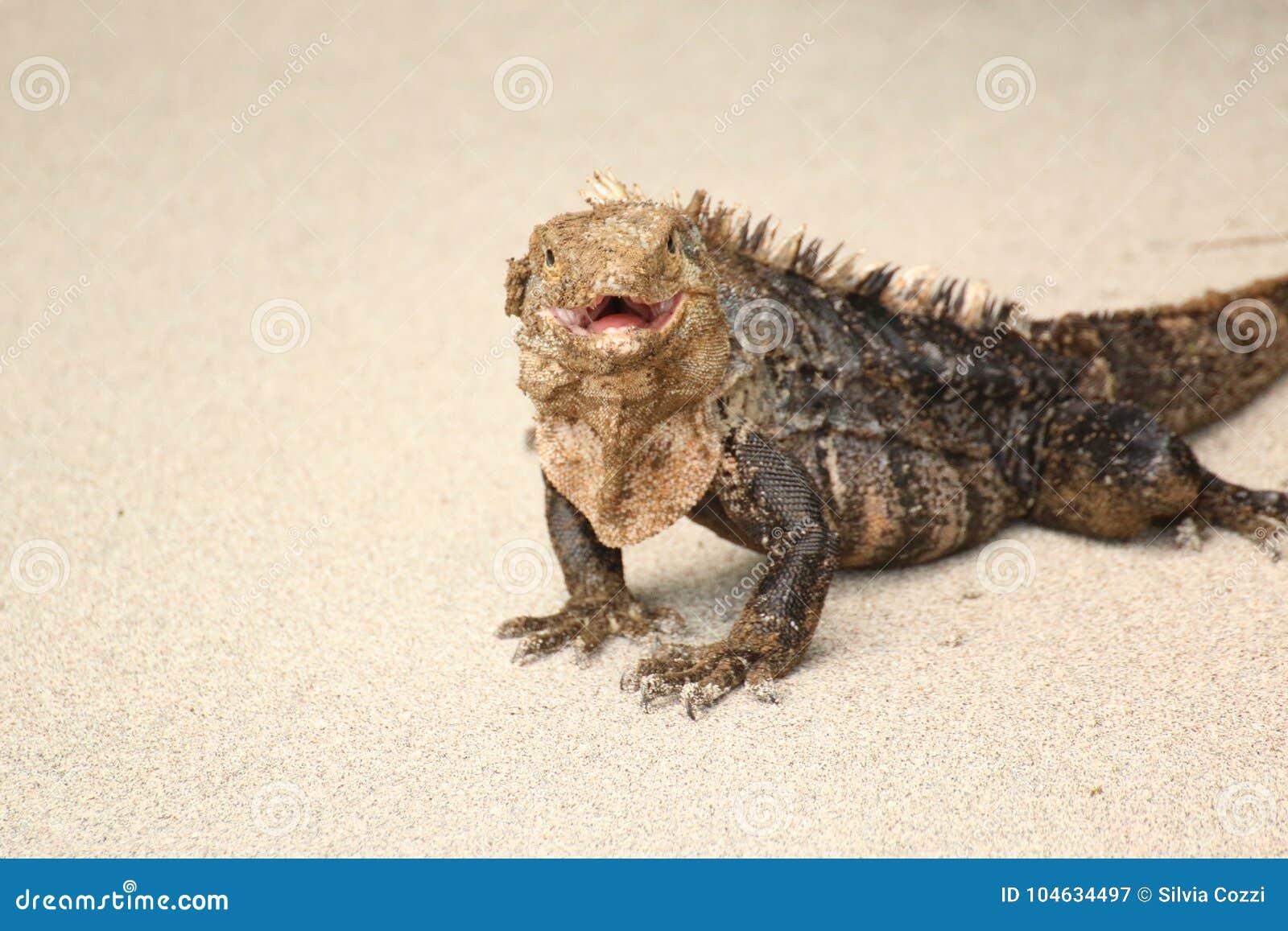 Download Leguaan Die Op Het Strand Lopen Stock Afbeelding - Afbeelding bestaande uit dier, nauseous: 104634497