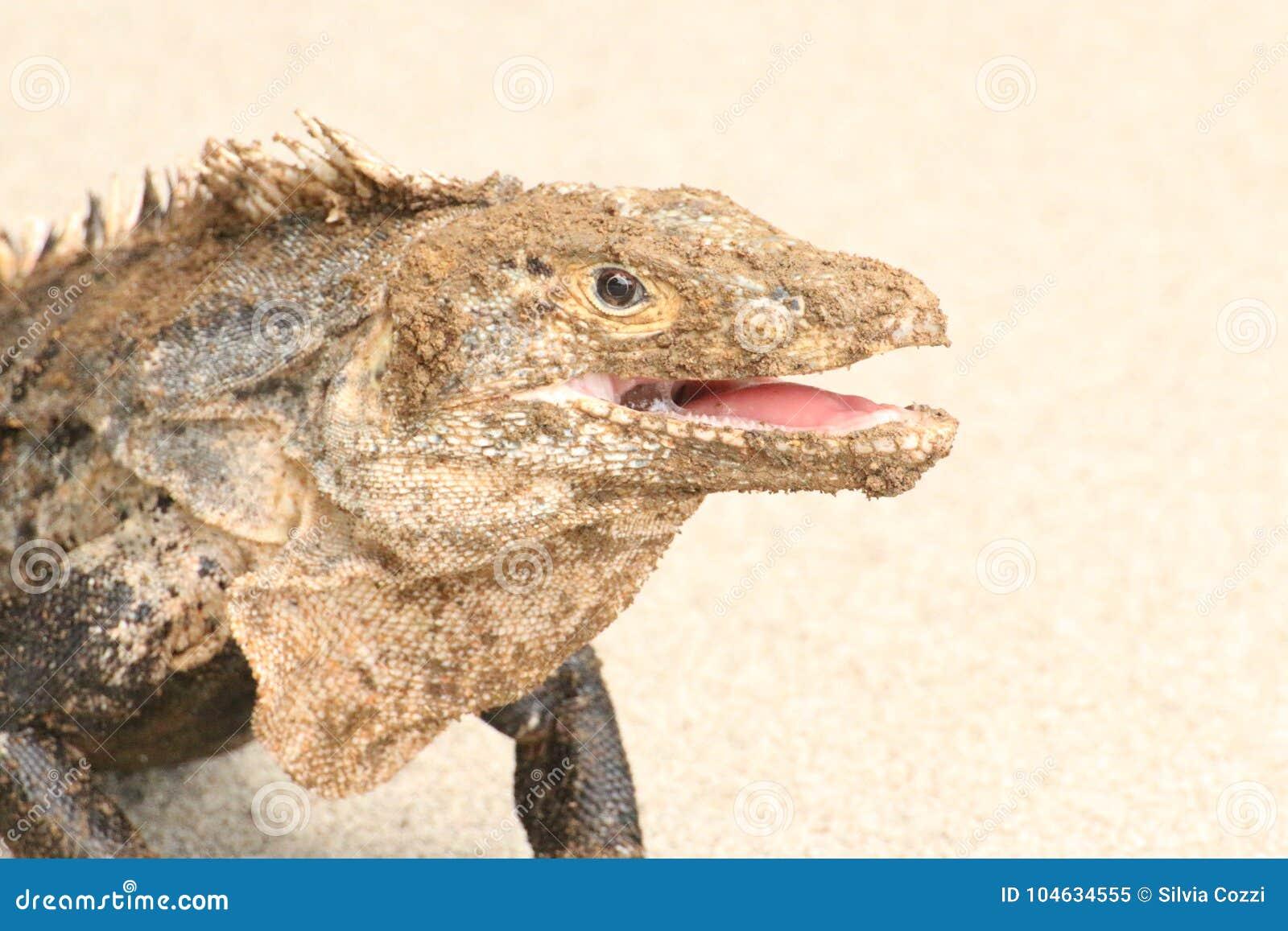 Download Leguaan Het Glimlachen Portret Dicht Omhoog Stock Afbeelding - Afbeelding bestaande uit dier, bruin: 104634555