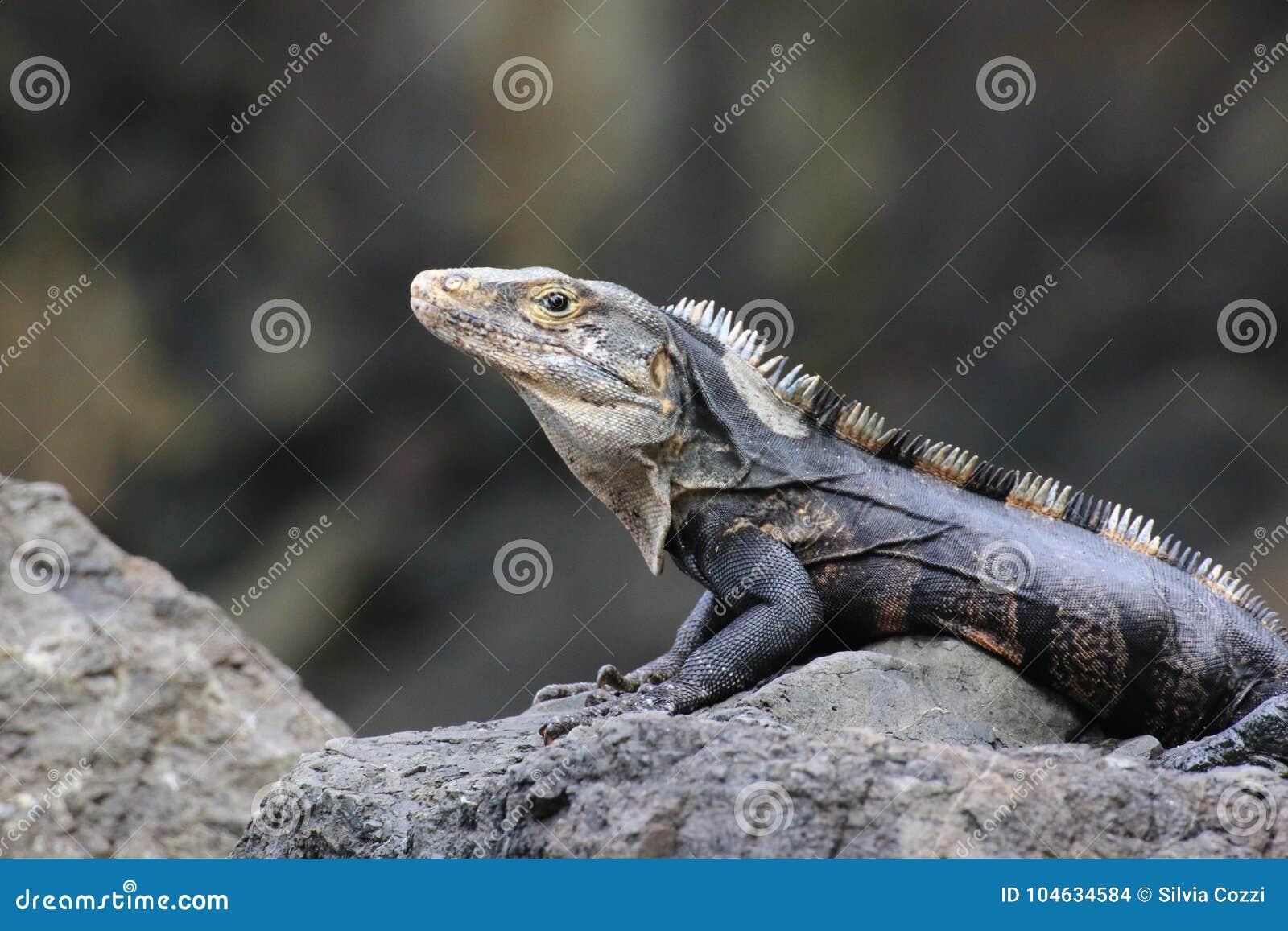 Download Leguaan Op Een Rots, Costa Rica Stock Foto - Afbeelding bestaande uit up, gezicht: 104634584