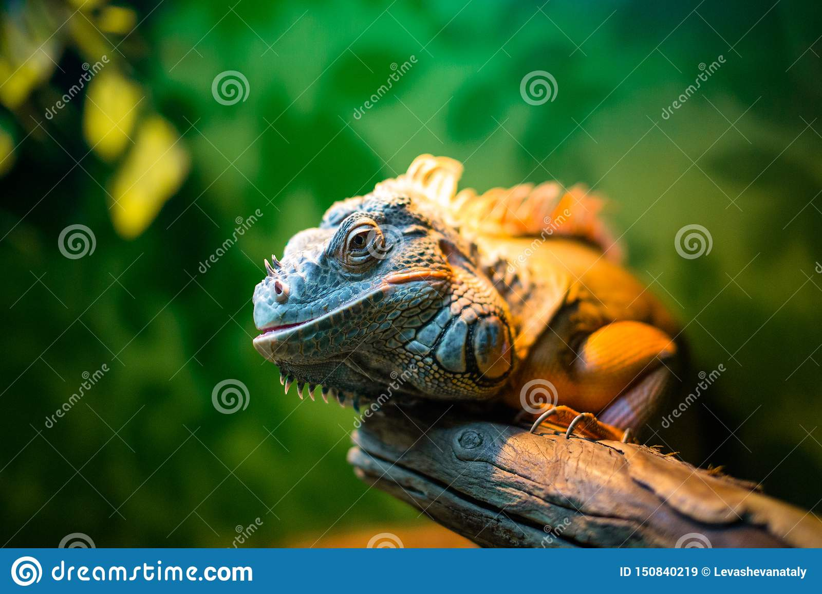 Leguaan op een tak in een contactdierentuin