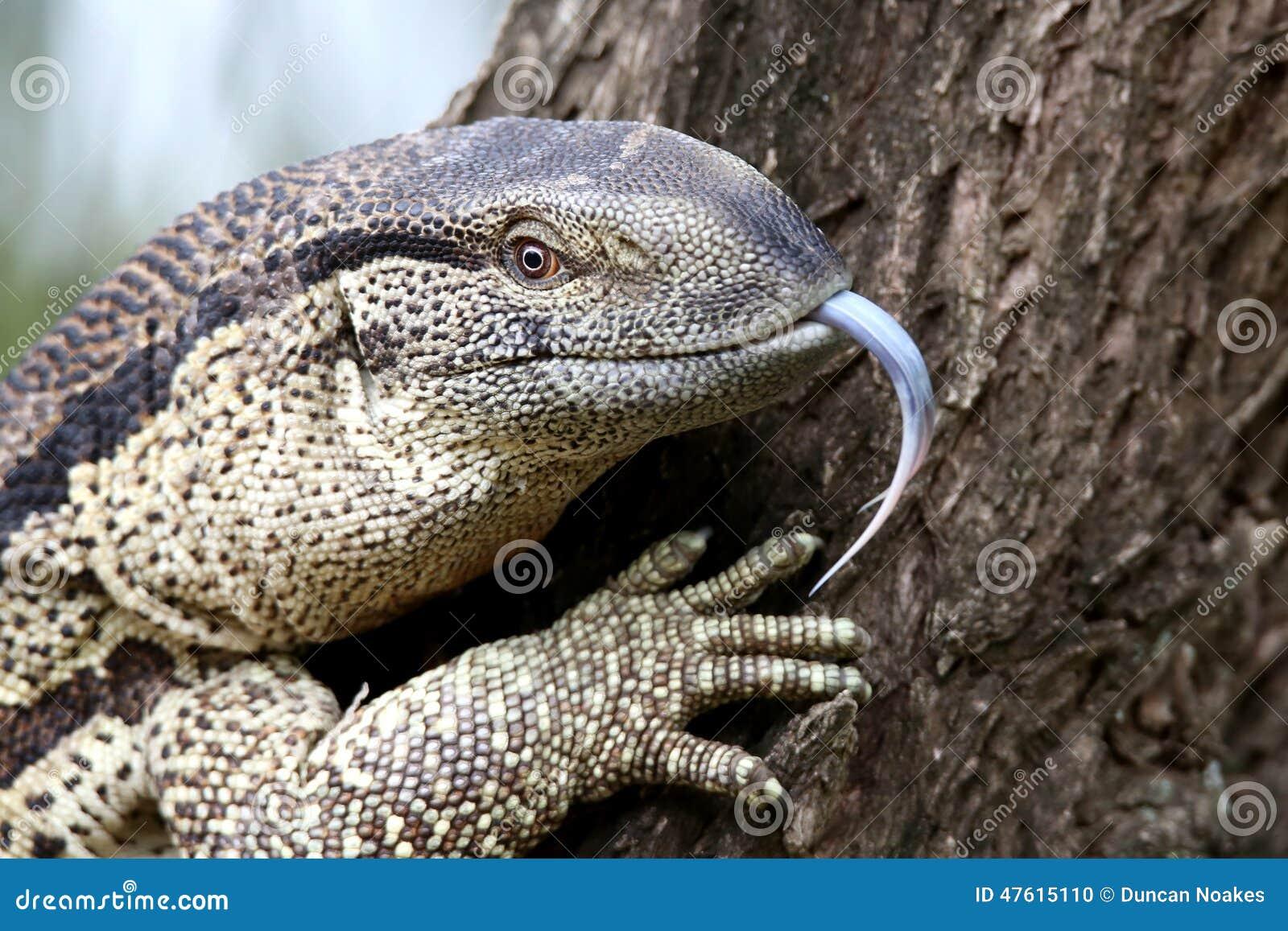A 2 Z Reptiles Leguaan Or Water Monit...
