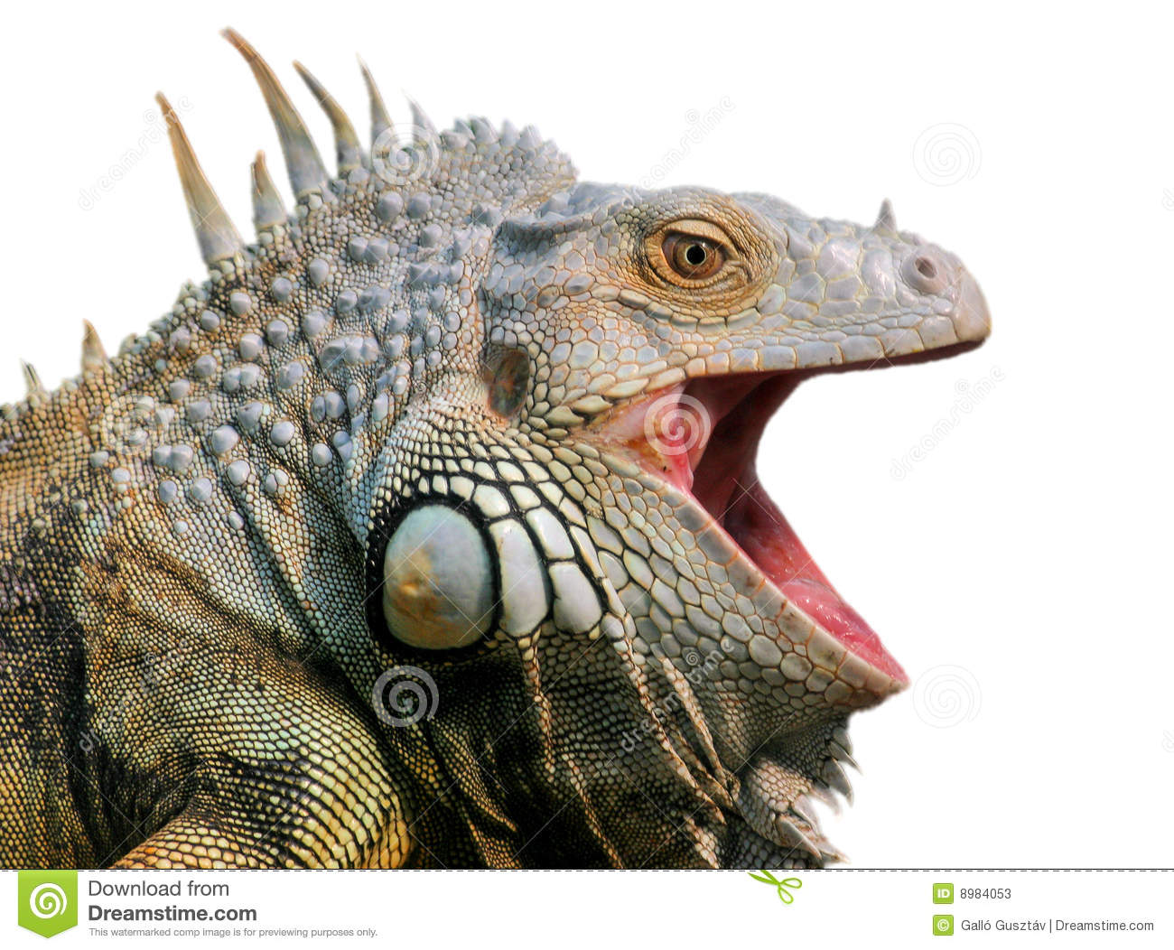 Leguan Stock Image Image Of Leguan Ugly Names Scales