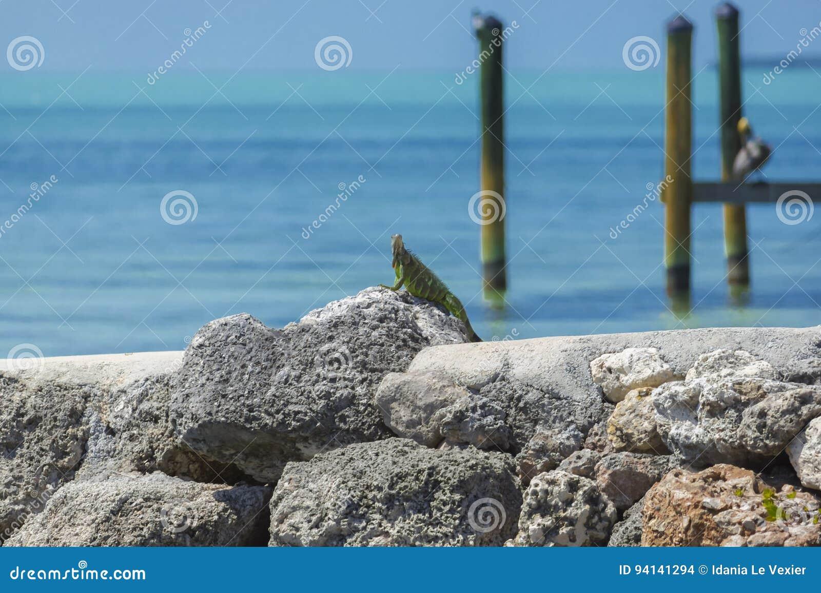Leguan, der auf den Felsen sich sonnt