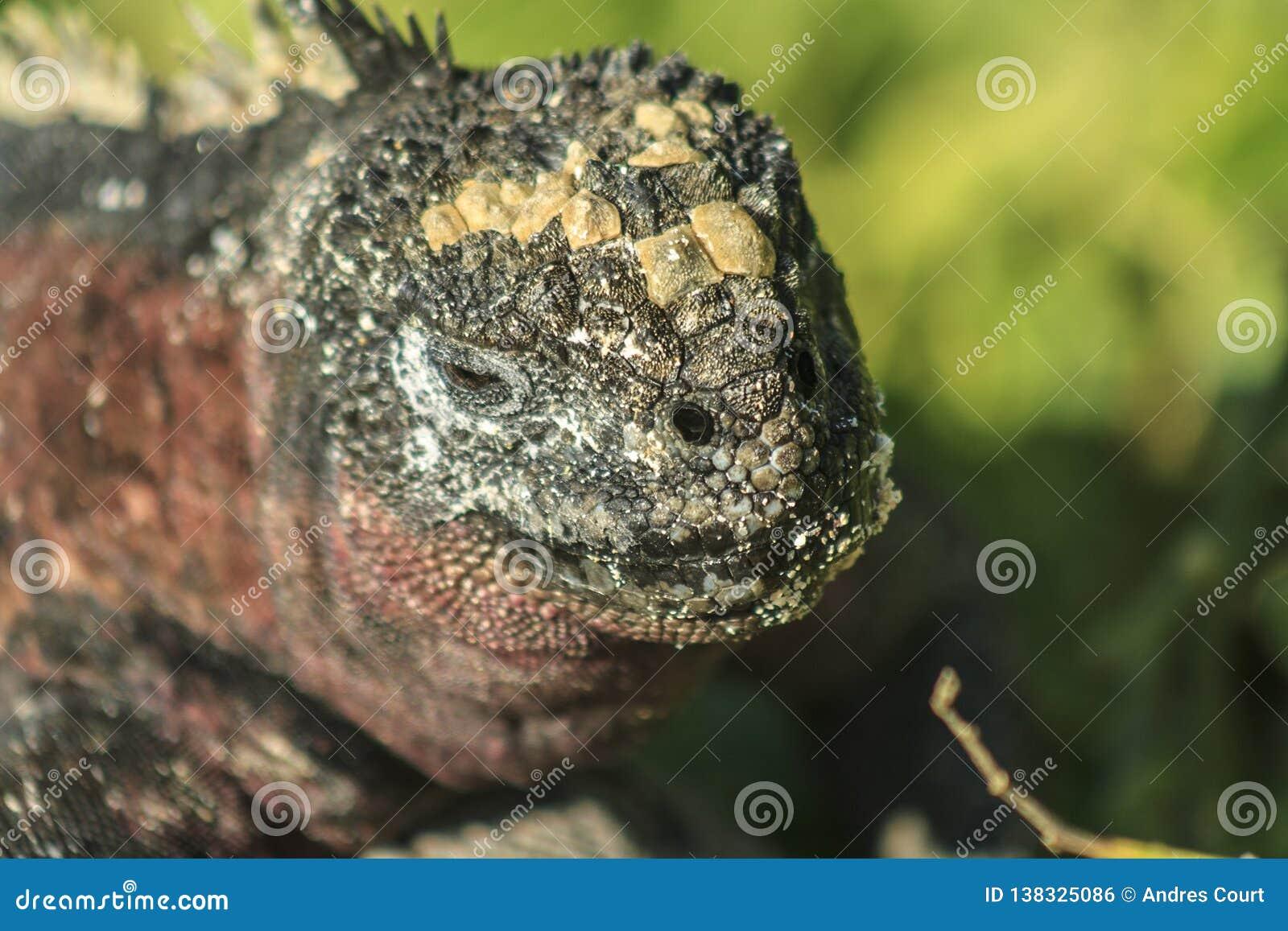 Leguancloseup från de Galapagos öarna