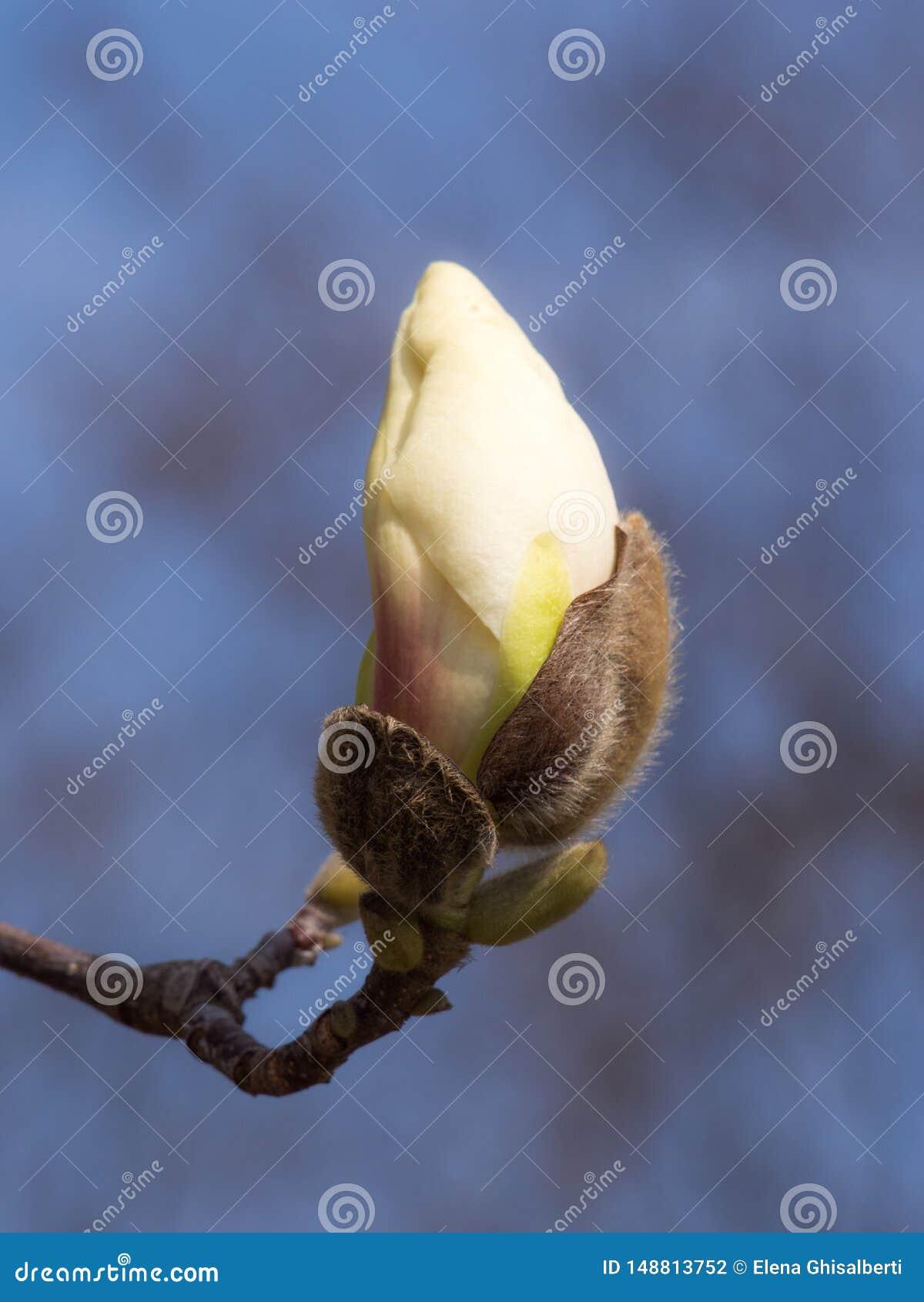 Leichte Blätter des ersten Frühlinges, Knospen