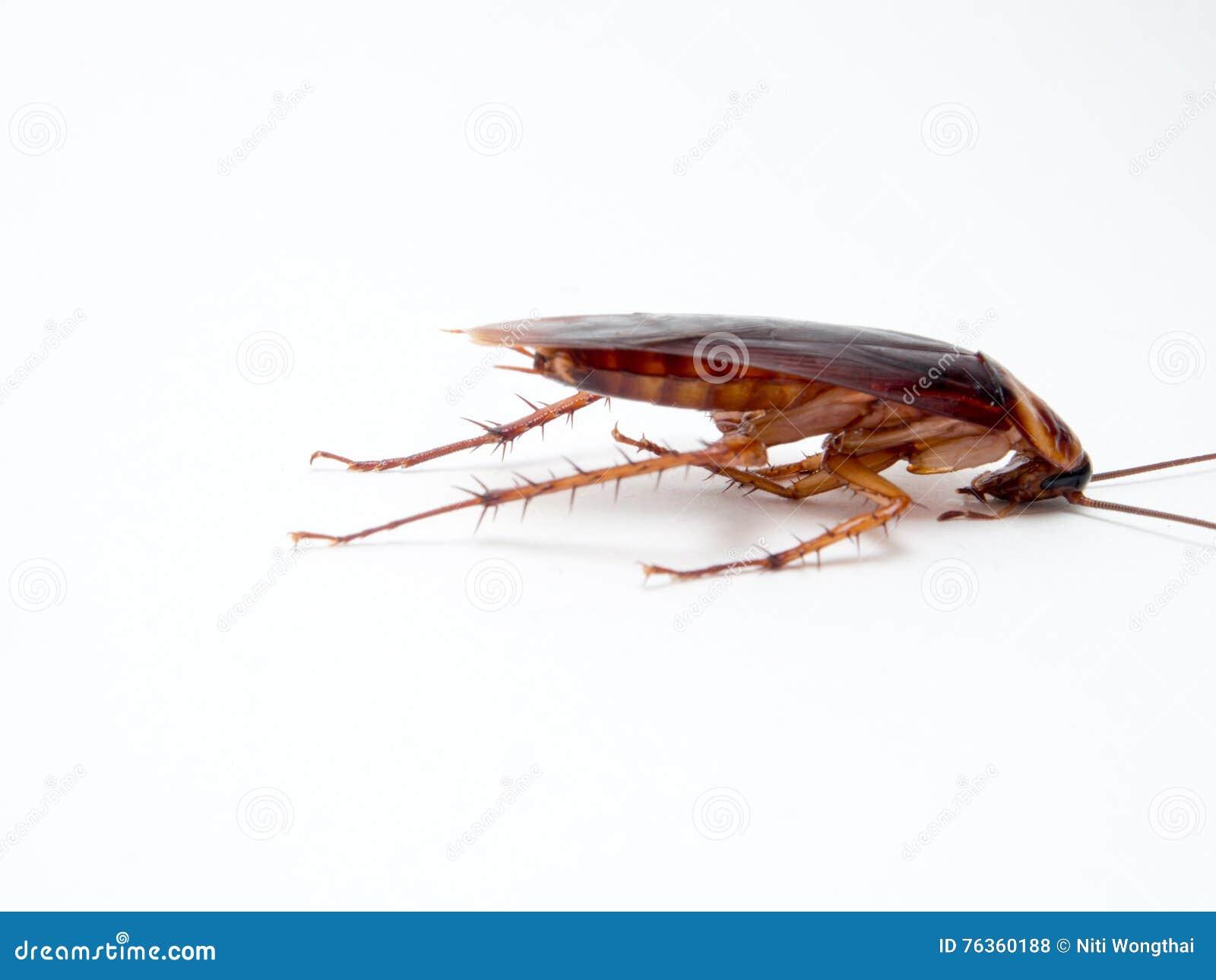 Leiden de kakkerlakken kleine dieren het ergeren af veroorzaakt van ziekte