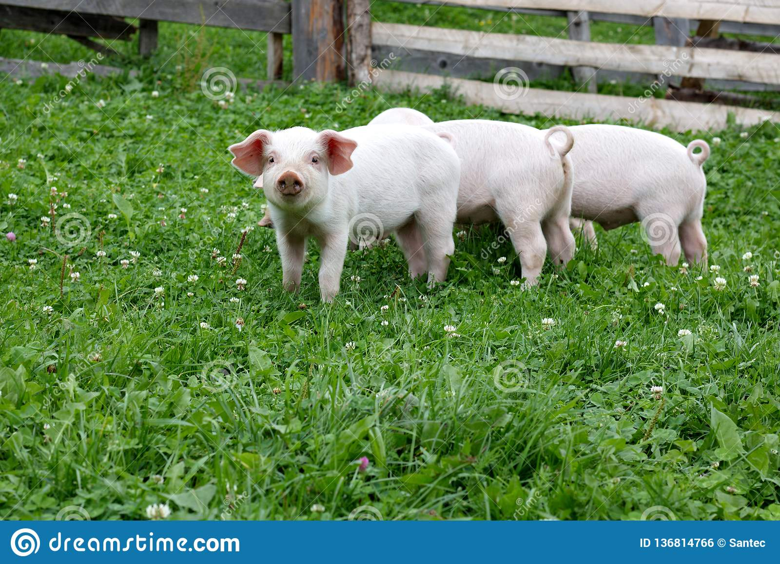 Leitão pequenos bonitos na exploração agrícola