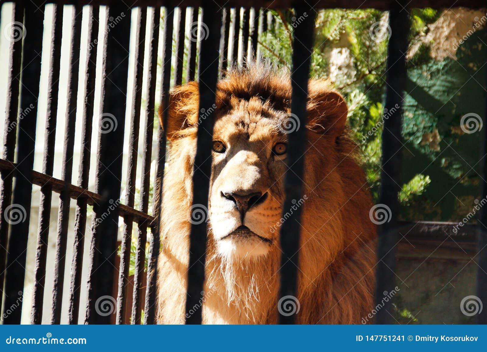 Lejon bak stänger i zoo