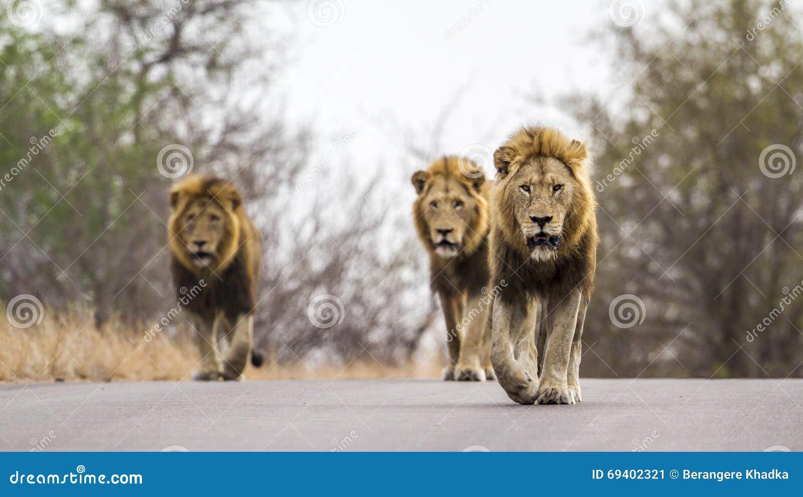 Lejon i den Kruger nationalparken, Sydafrika