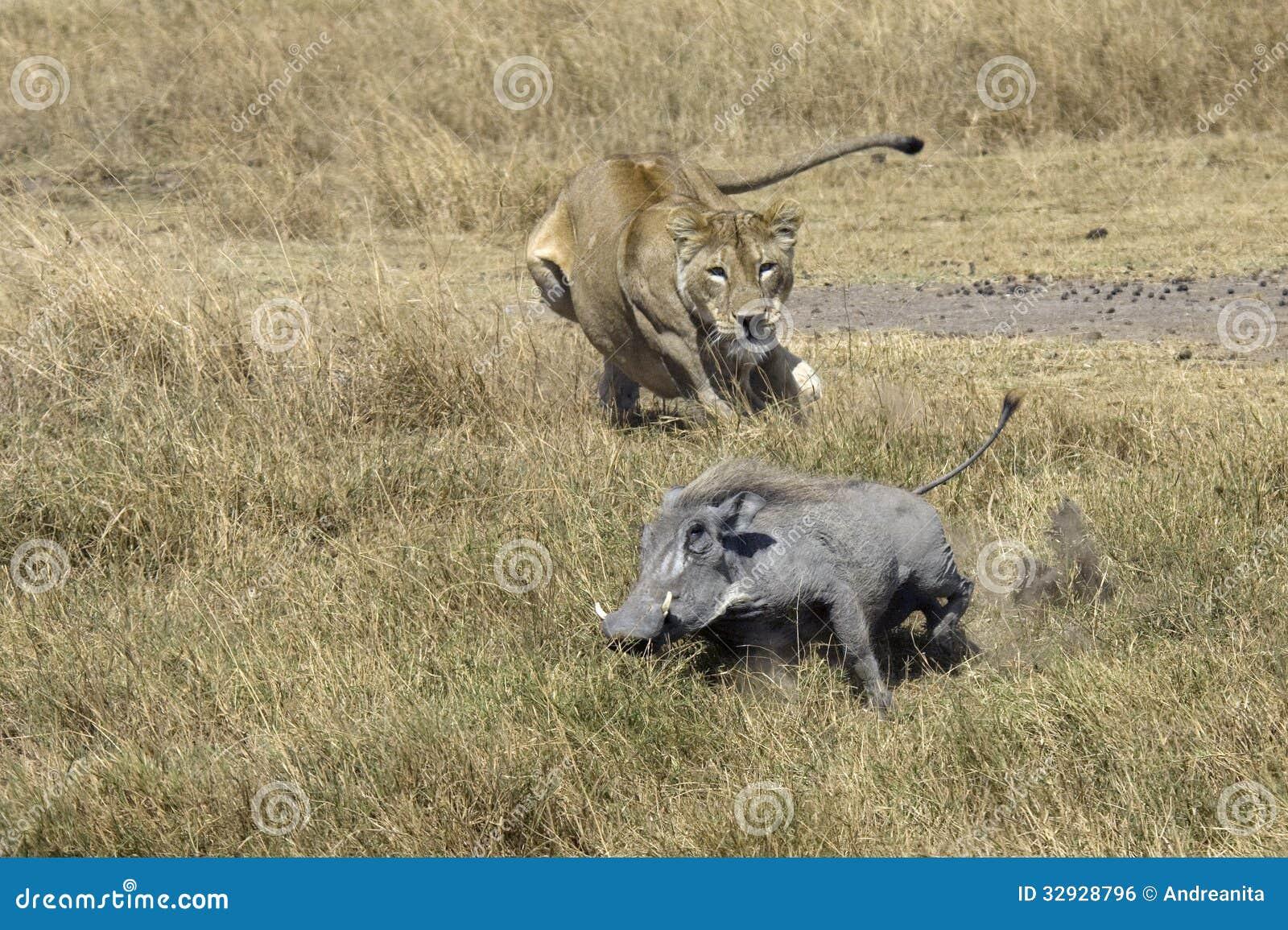 Lejon på jakten