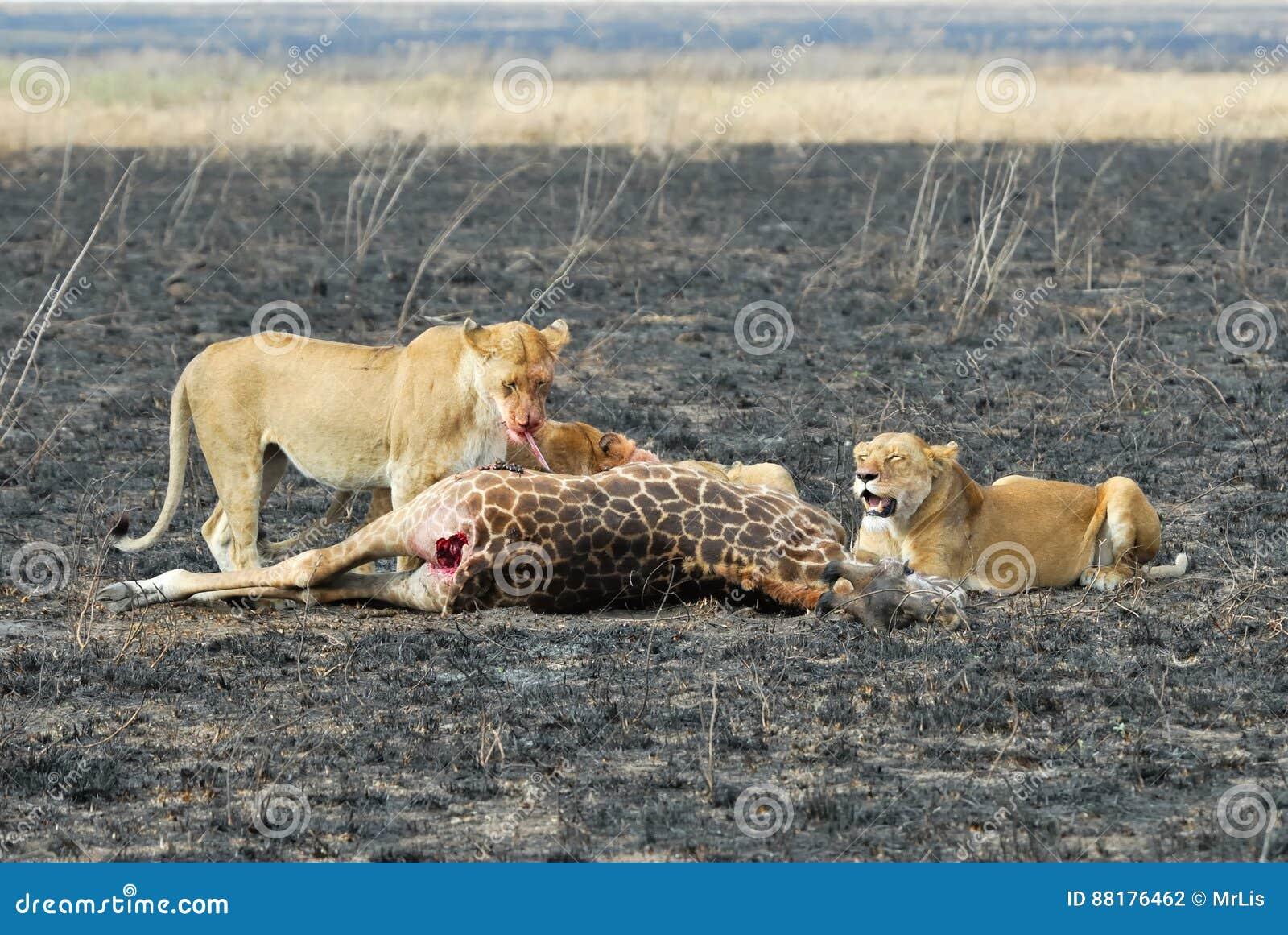 Lejon som äter ett rov, Serengeti nationalpark, Tanzania