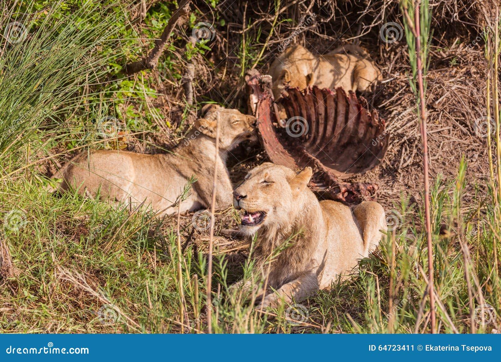 Lejon som har lunch