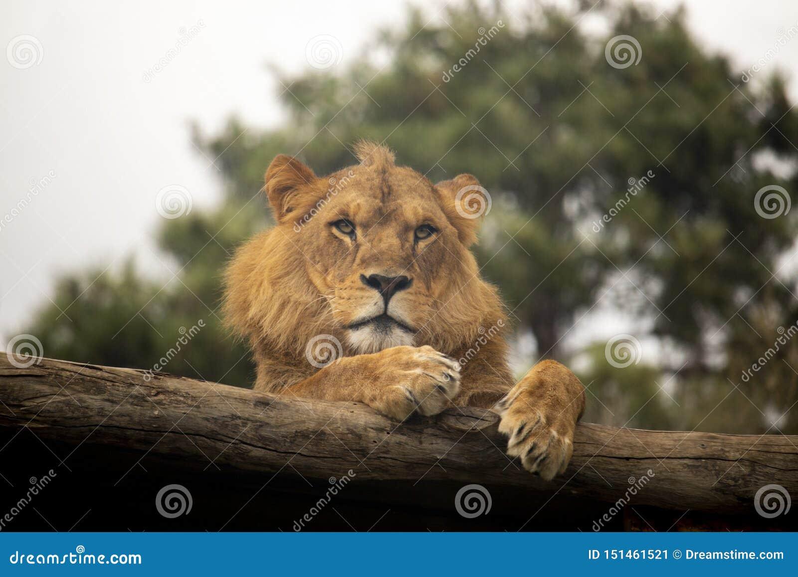 Lejon som vilar på en journal
