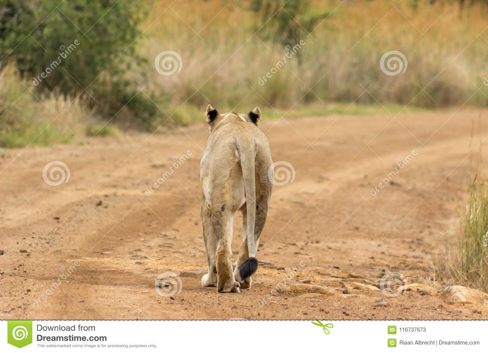 Lejoninna som går på en grusväg