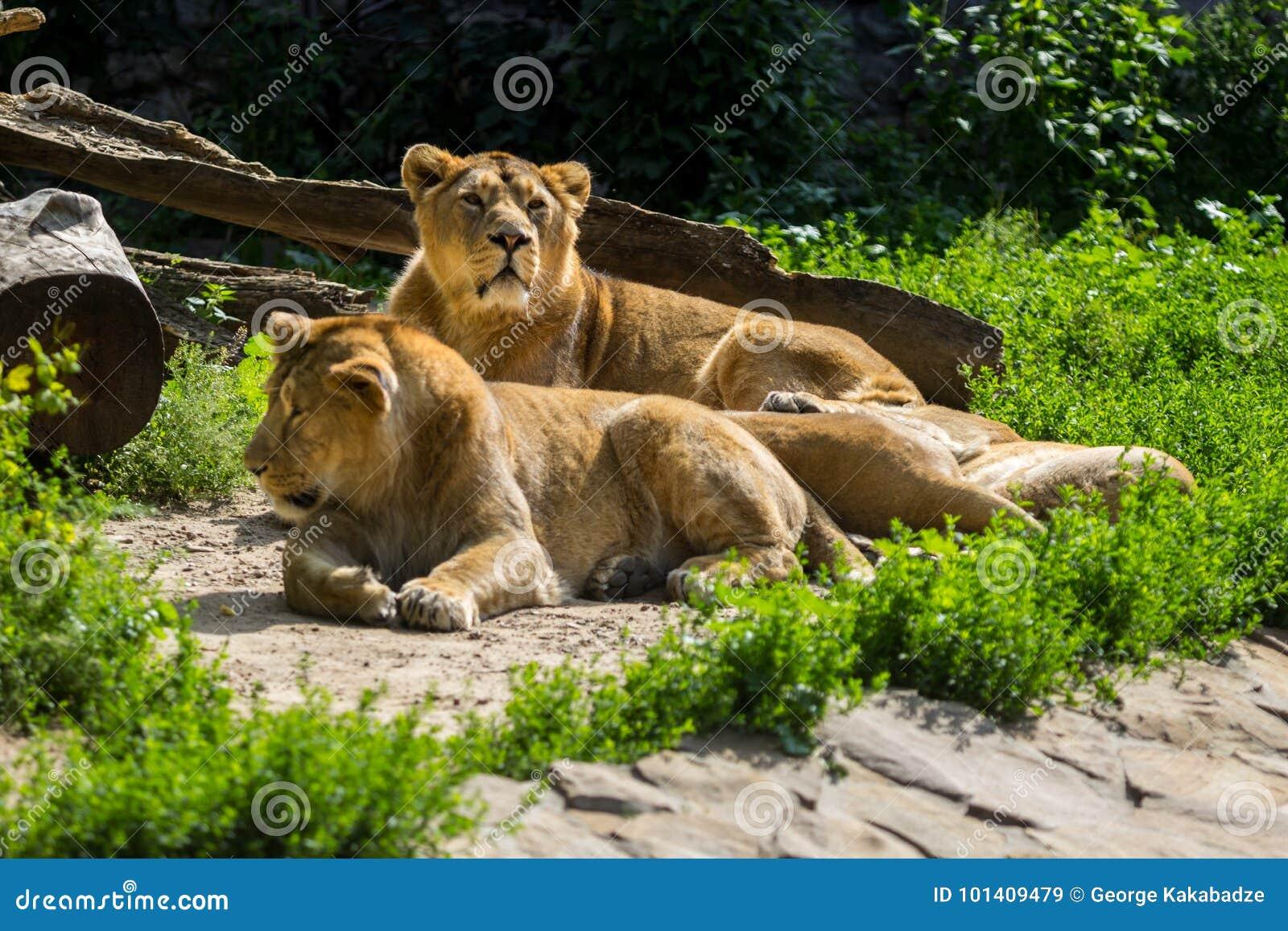 Lejonstolthet vilar, når den har jagat