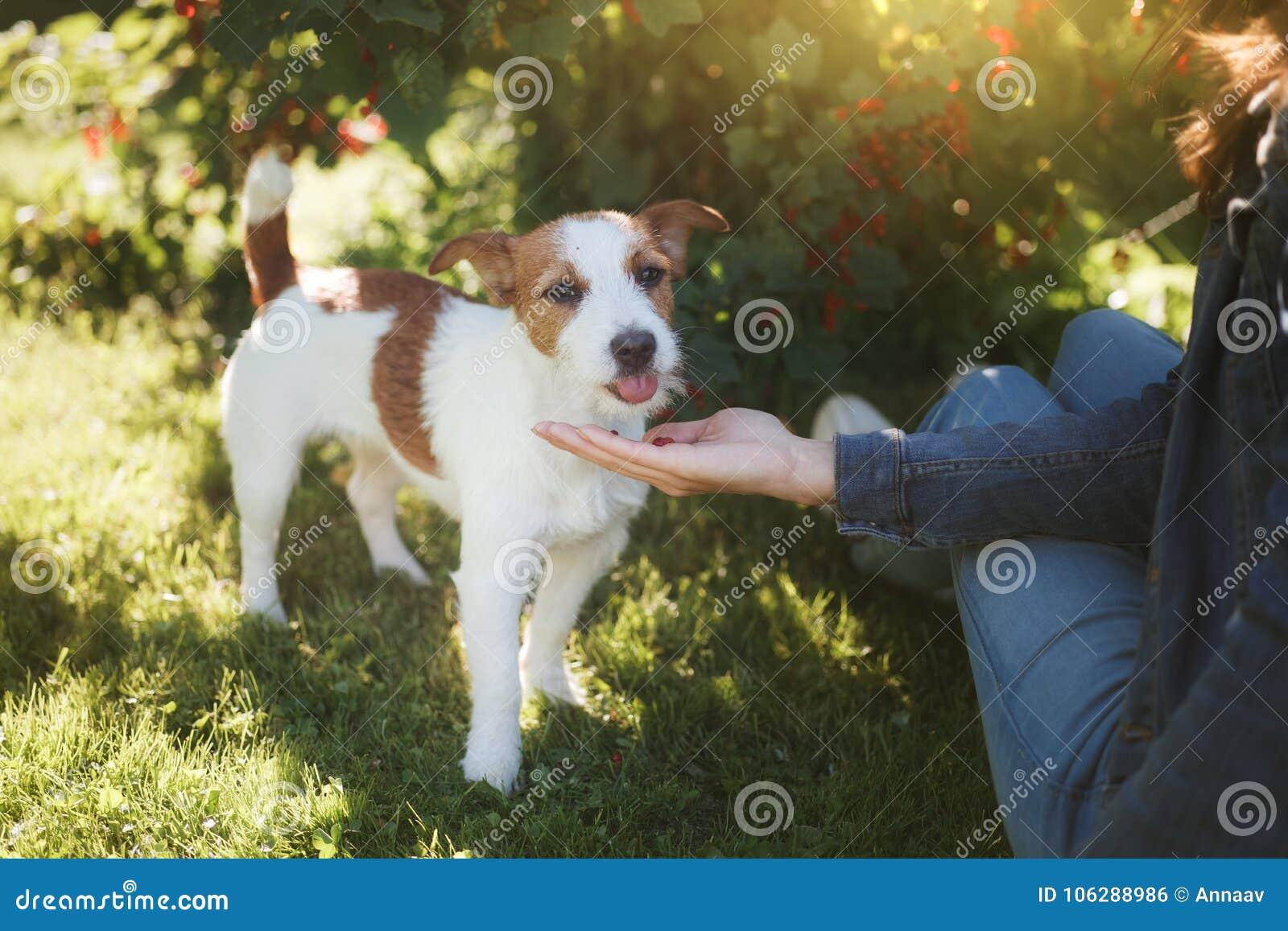 Leka för hundflicka Jack Russell Terrier i natur Sommar