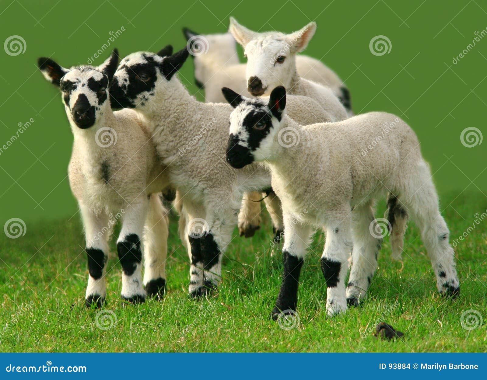 Leka för lambs