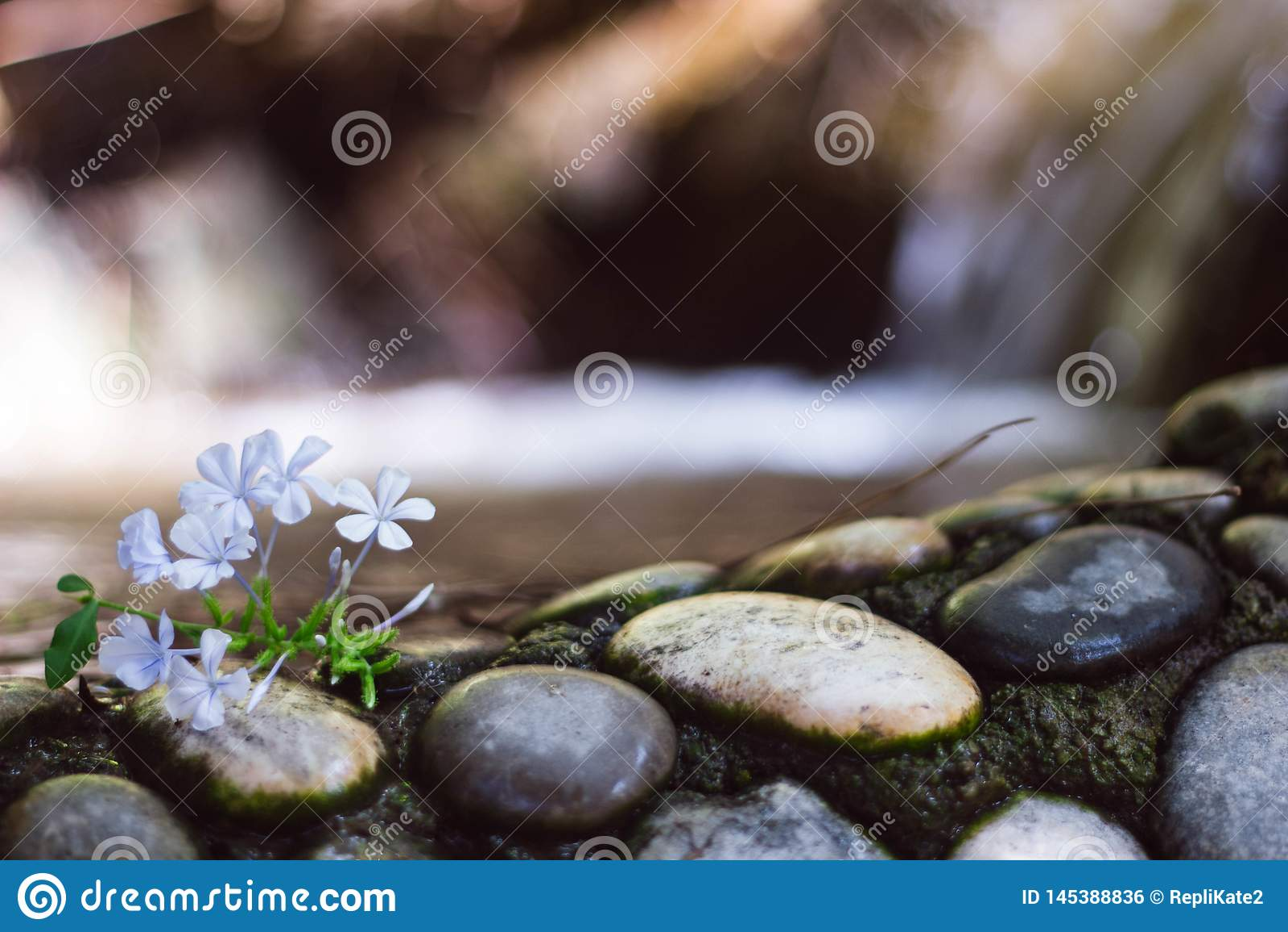 Lekcy lili mali kwiaty na czarny i bia?y kamieniach na tle siklawa z bliska Moczy kamienie blisko wody