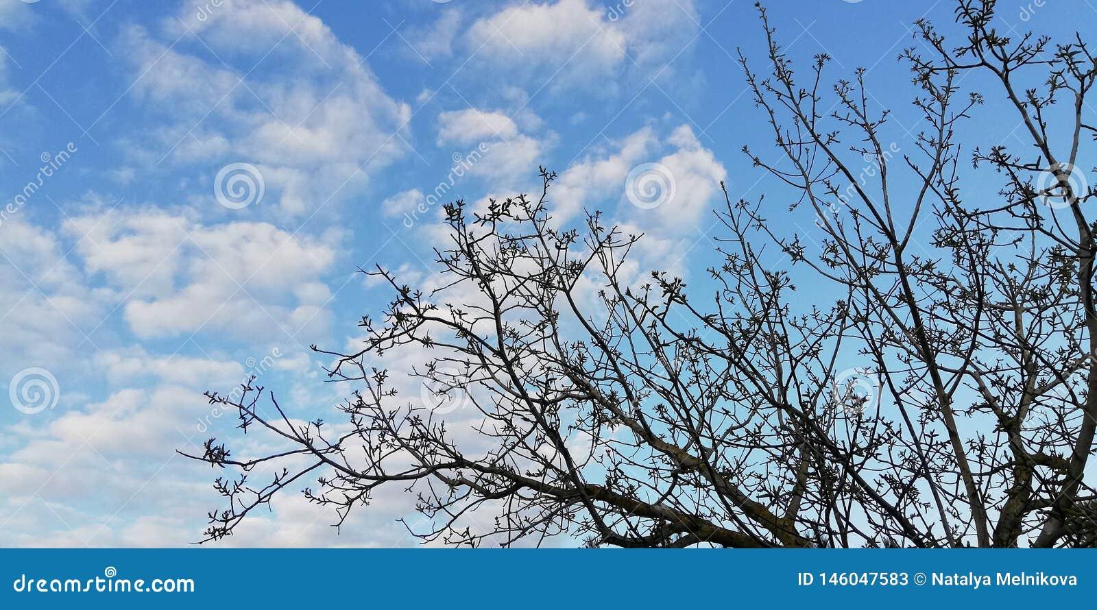 Lekki t?o Skoczna koronka Ciemne gałąź kontrastują z białym niebieskim niebem i chmurami