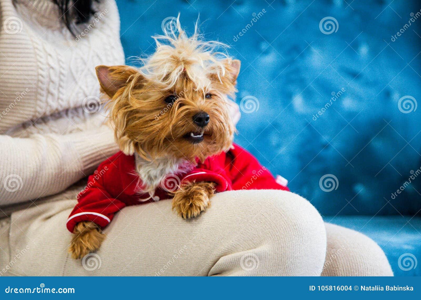 Leksak för soffa för terrier för tiffany blå för turkos för soffa för fotoperiod för färg för hund för husdjur jul för nytt år rö