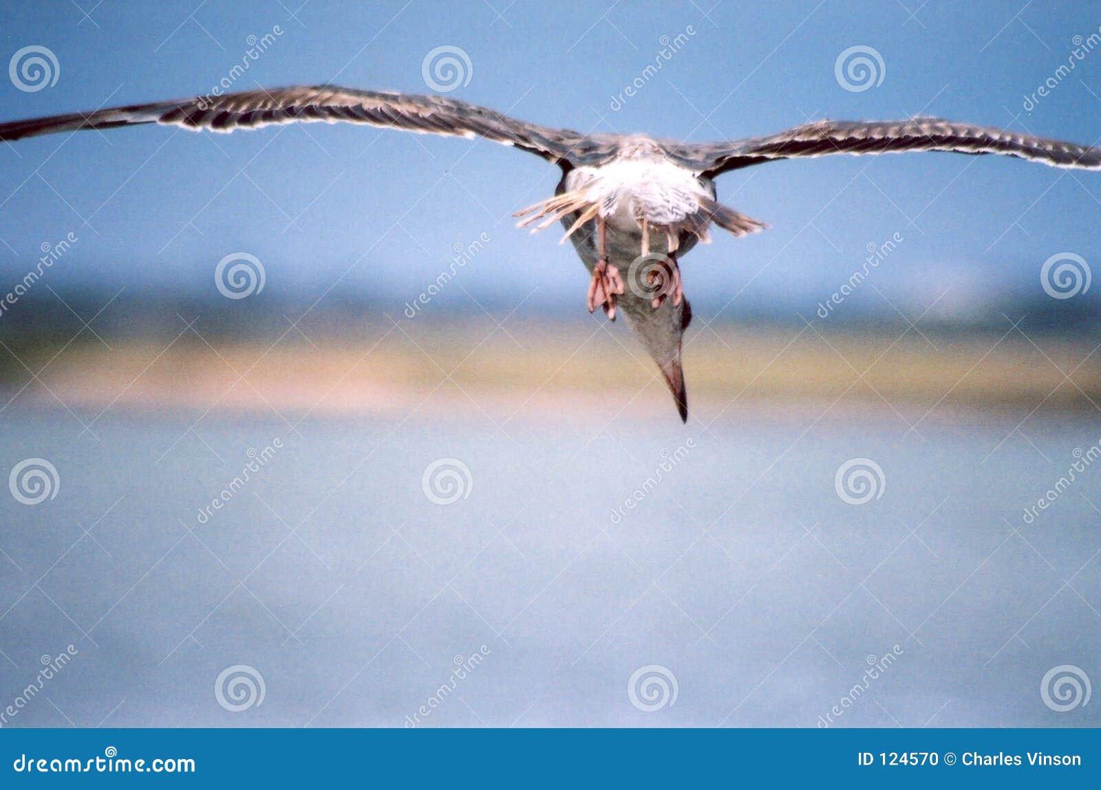 Lelijke Zeemeeuw tijdens de vlucht