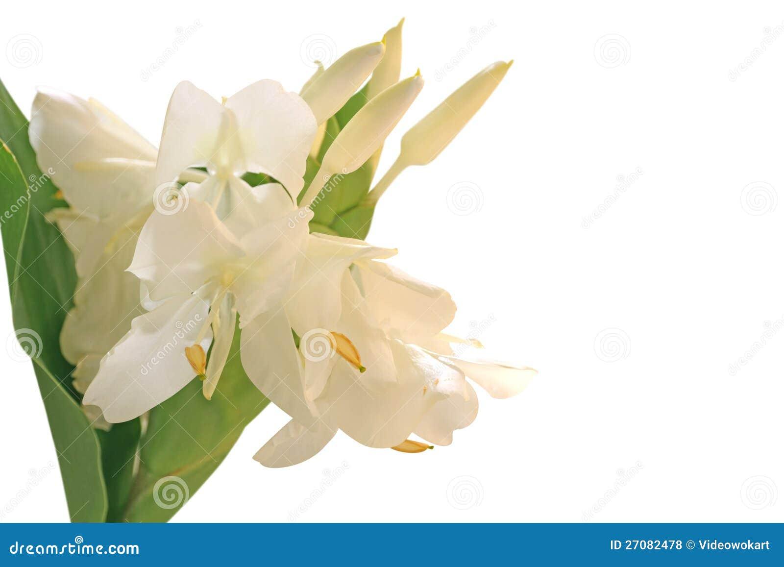 Leluja biały Imbirowy Kwiat