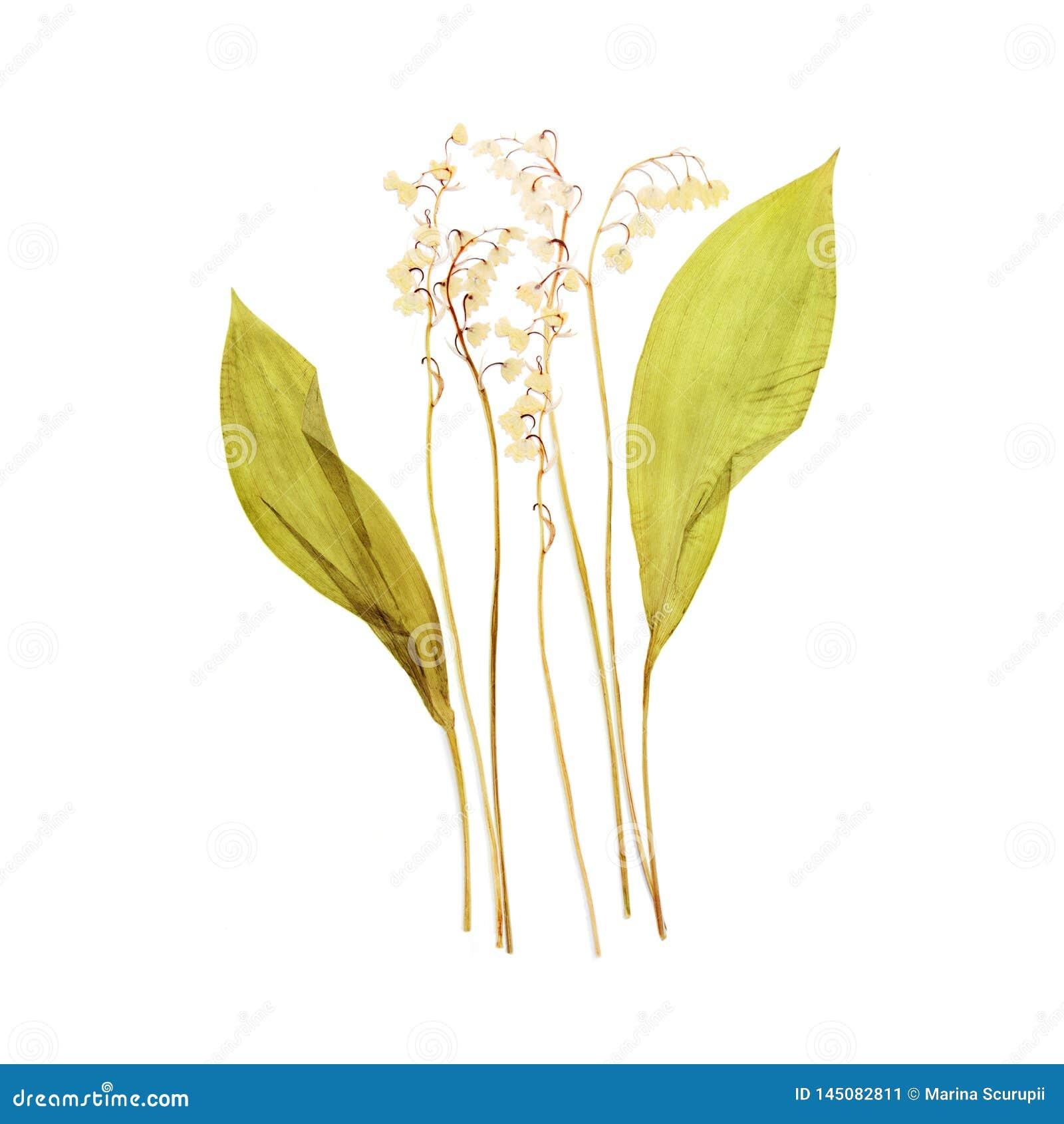 Leluja dolina - kwiatu suchy naciskający herbarium