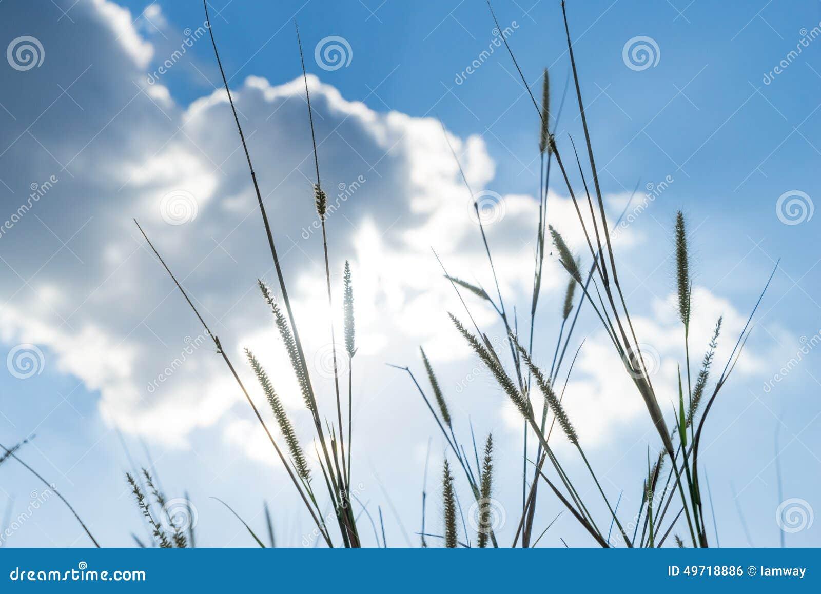 Lemmagras dat licht van zon die erachter met heldere blauwe sk glanzen