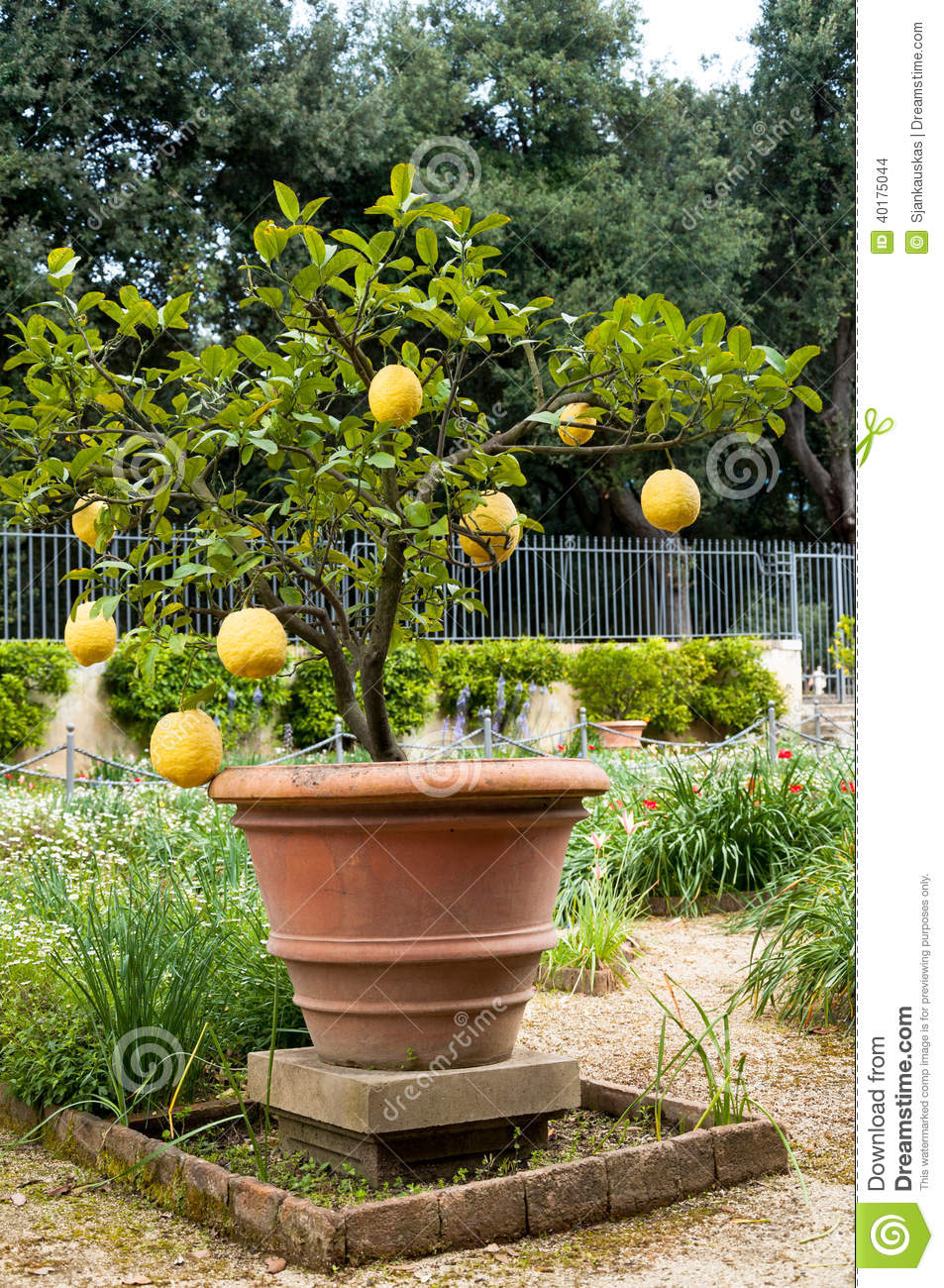 Lemon citrus plant stock photo image of tree natural for Growing a lemon tree in a pot from seed