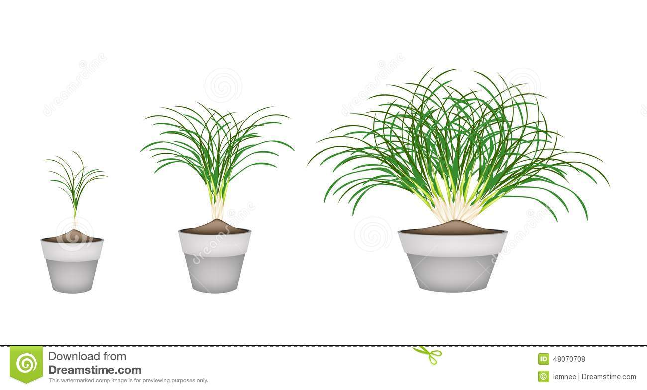 How to grow lemon grass -  Garden Design With Lemon Grass Plants In Ceramic Flower Pots Stock Vector Image With Landscaping Idea