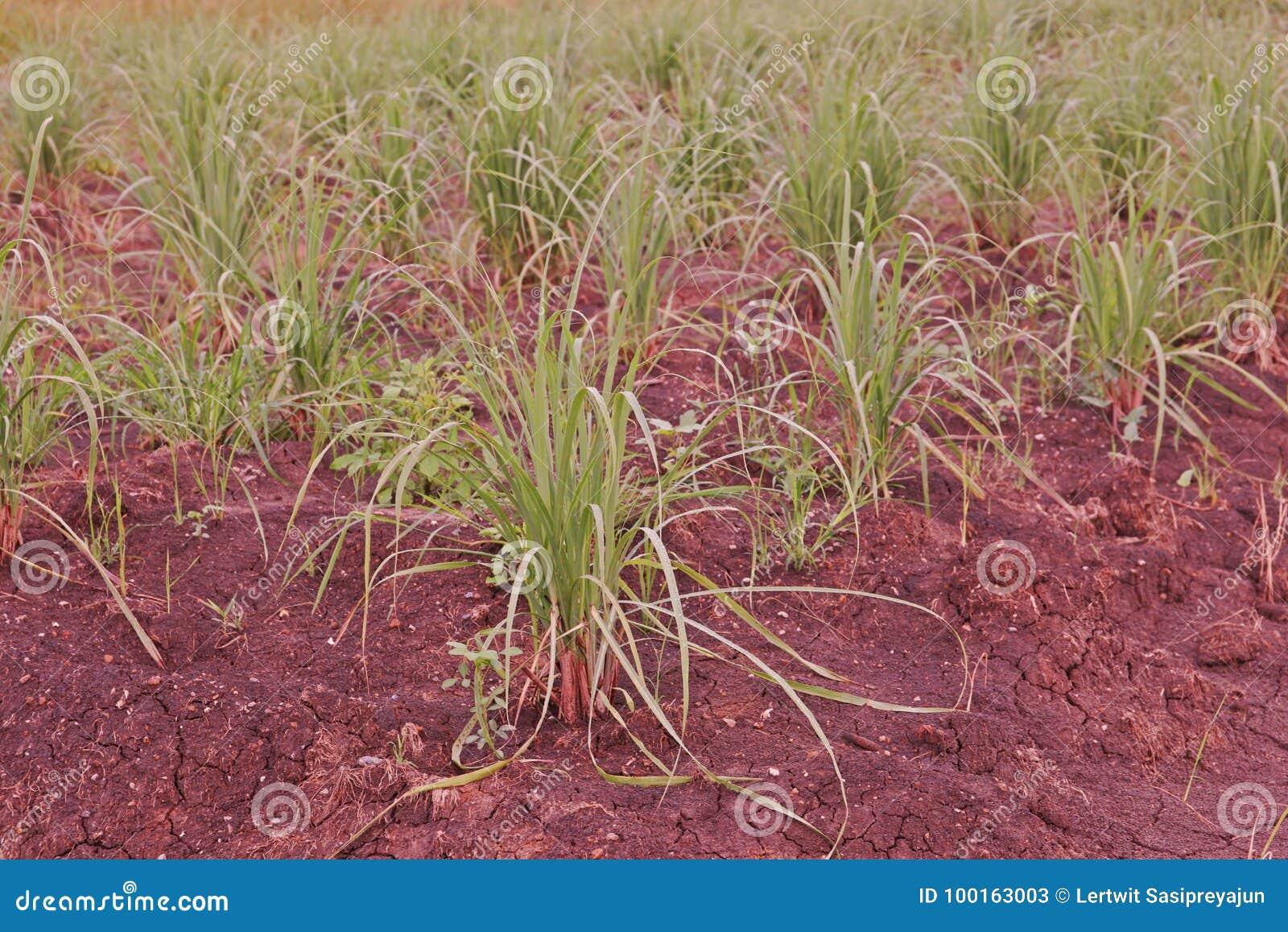 Lemon grass in production field