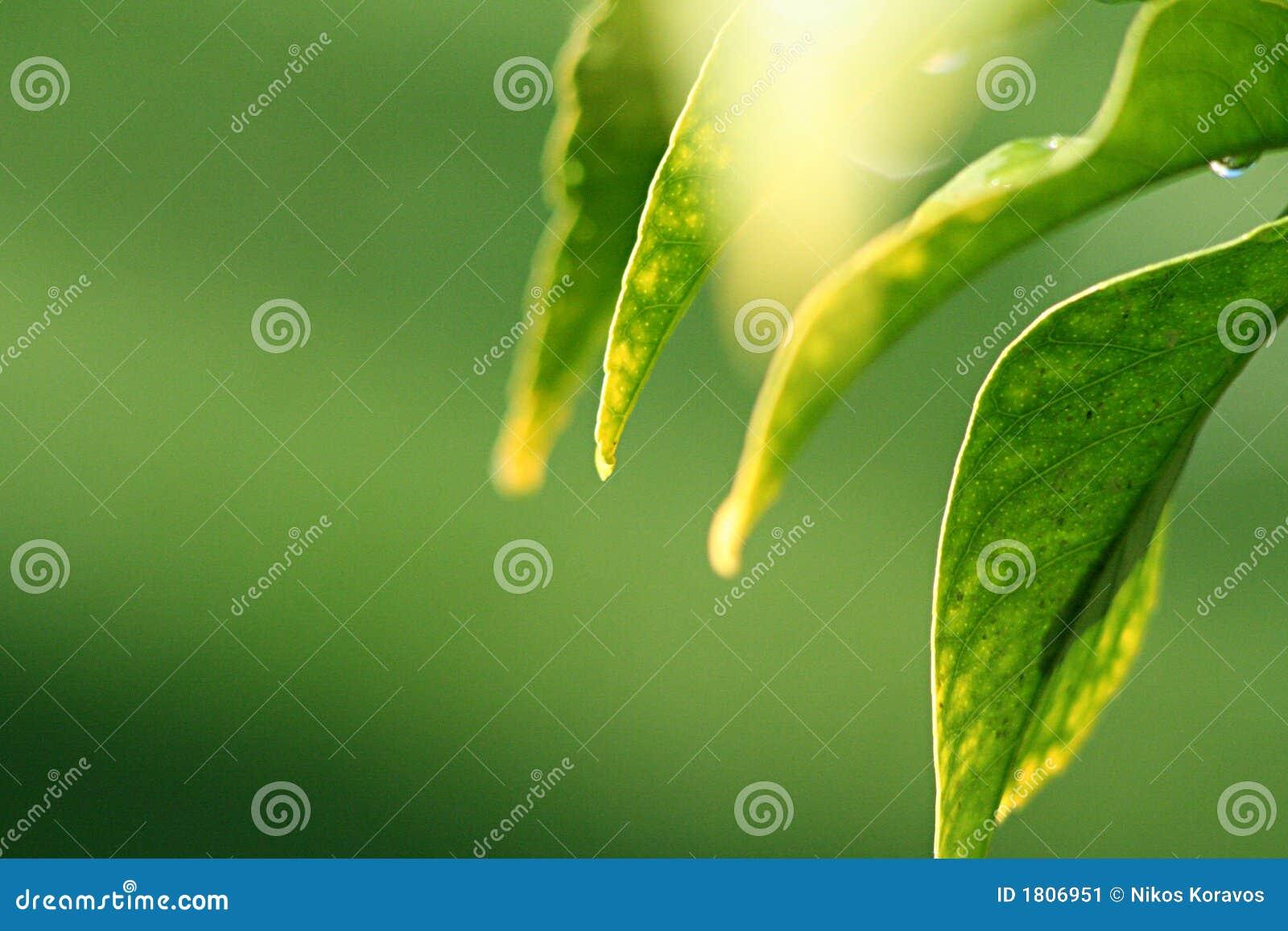 Lemon leaves in sunshine