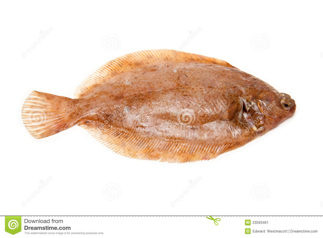 Lemon sole fish stock image image 23593461 for Sole fish nutrition