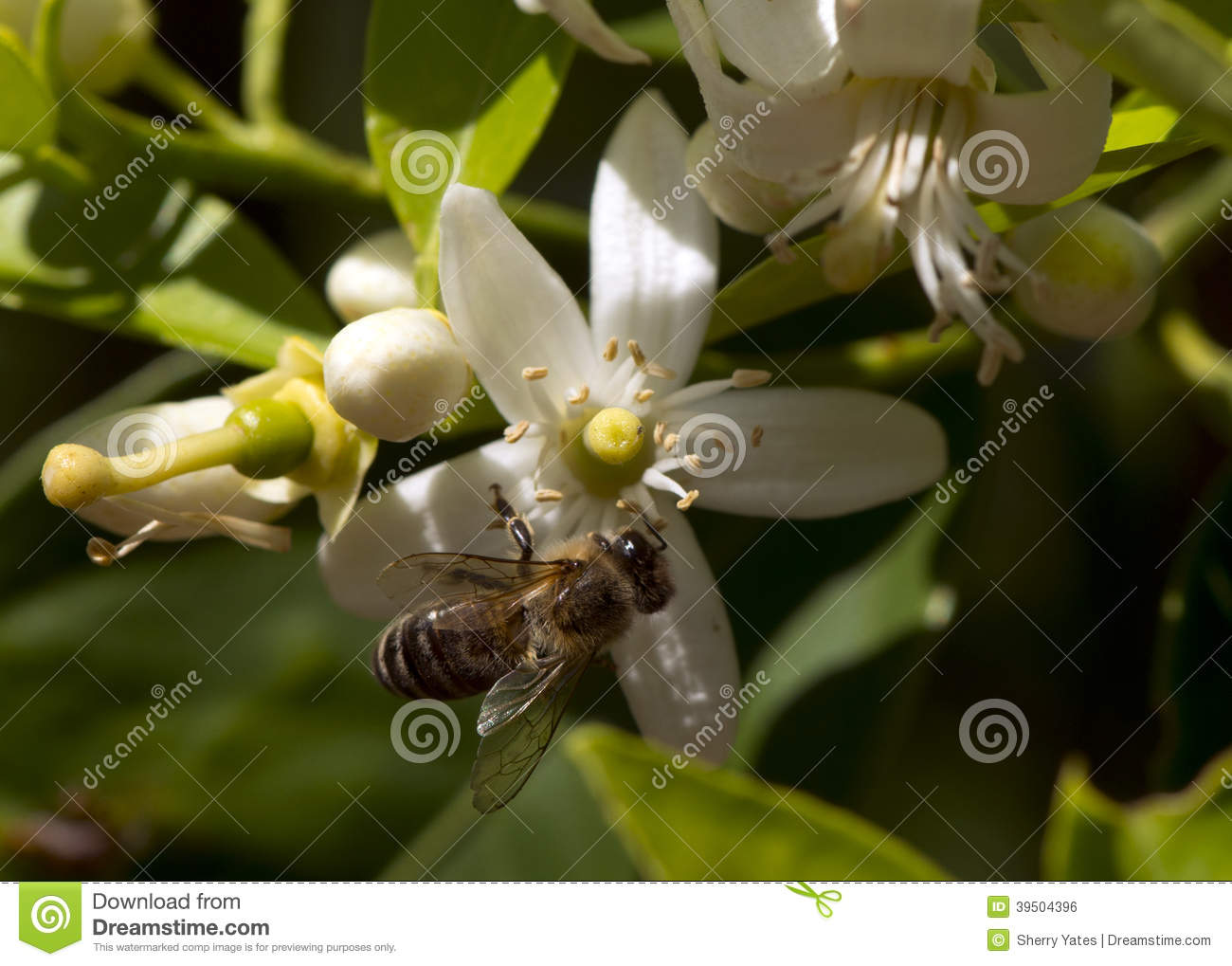 Lemon Tree Bee