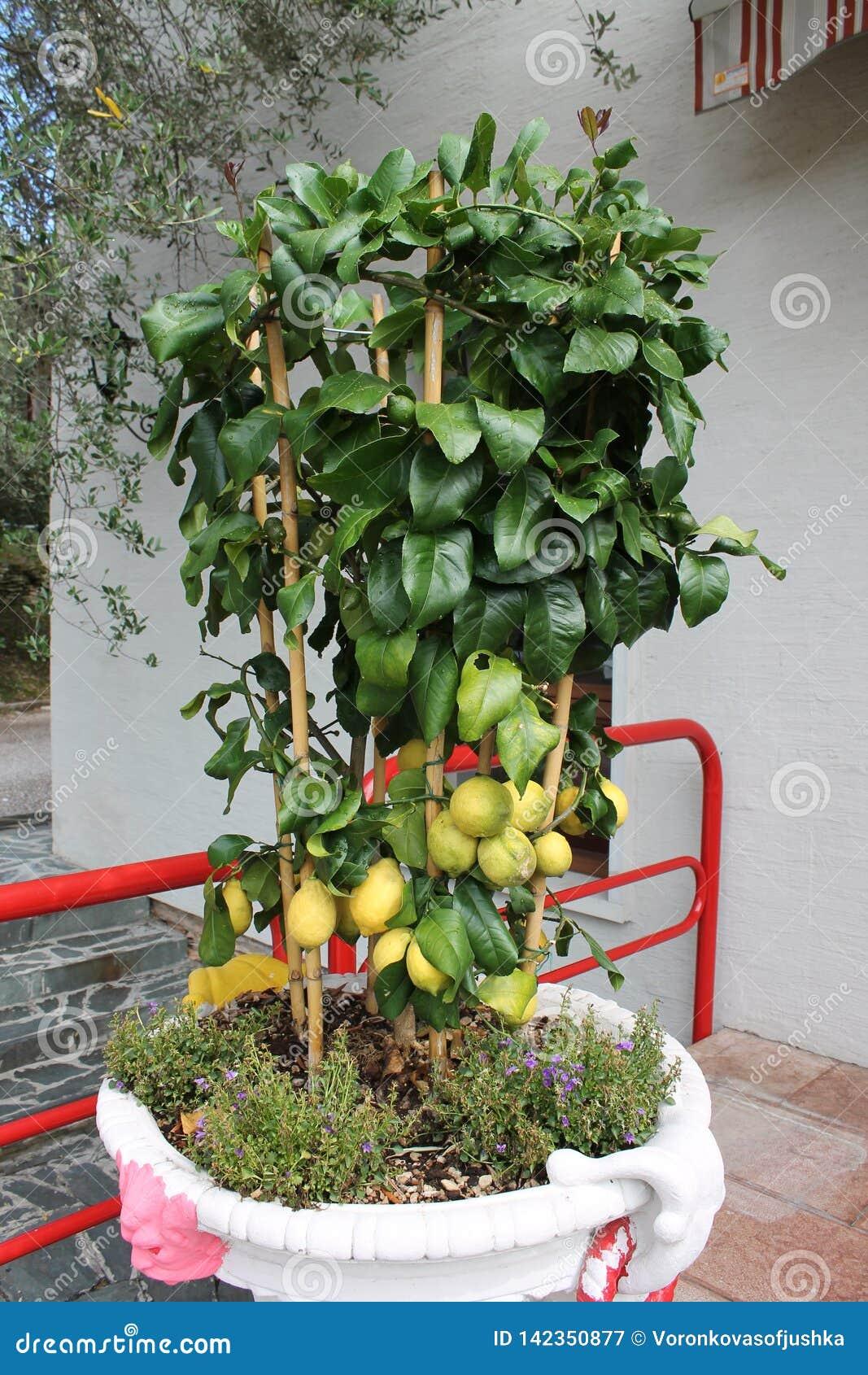 Lemon tree with ripe fruits in a flowerpot