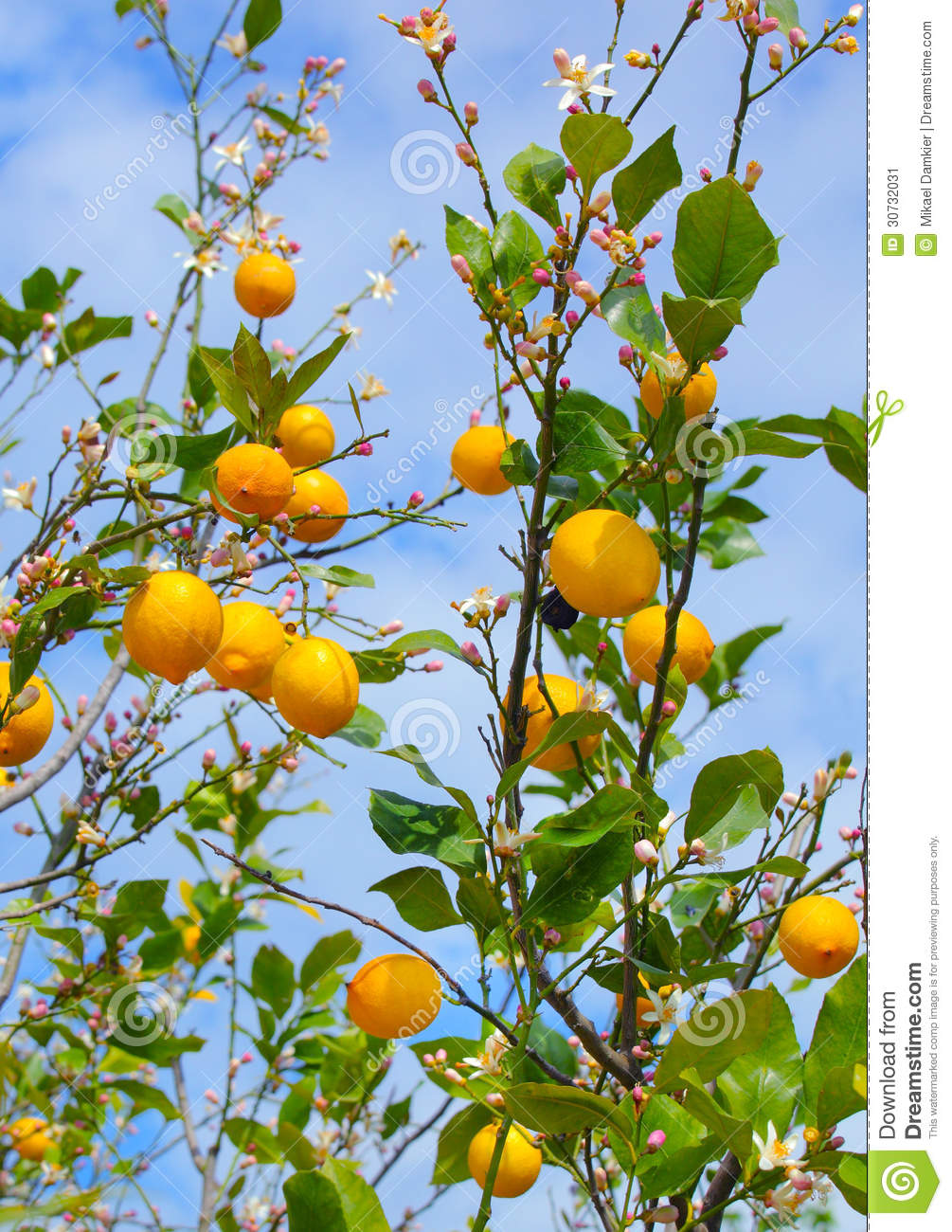 how to grow seedless lemons
