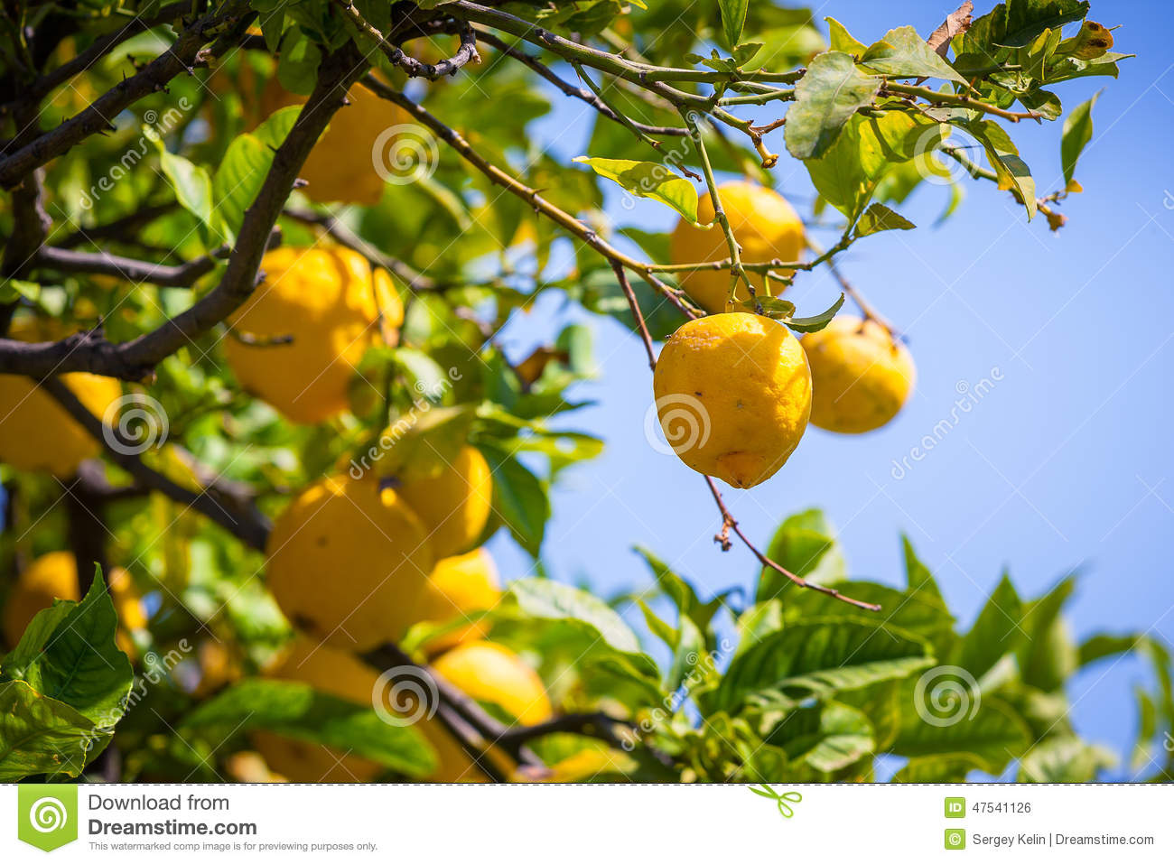Pictures Of Lemon Trees In Italy