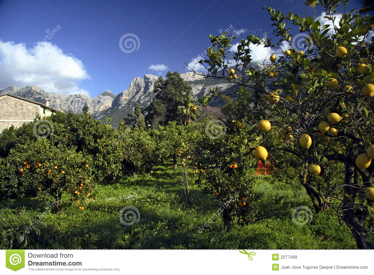 Lemon Trees, Majorca, Spain