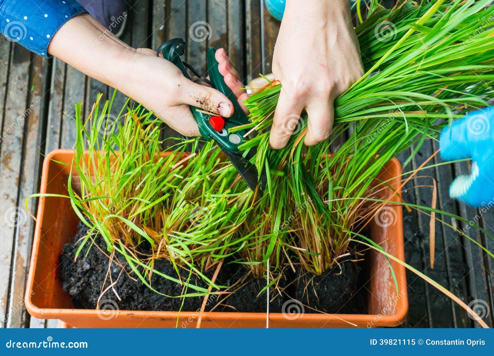 Lemongrass aromatyczny ziele