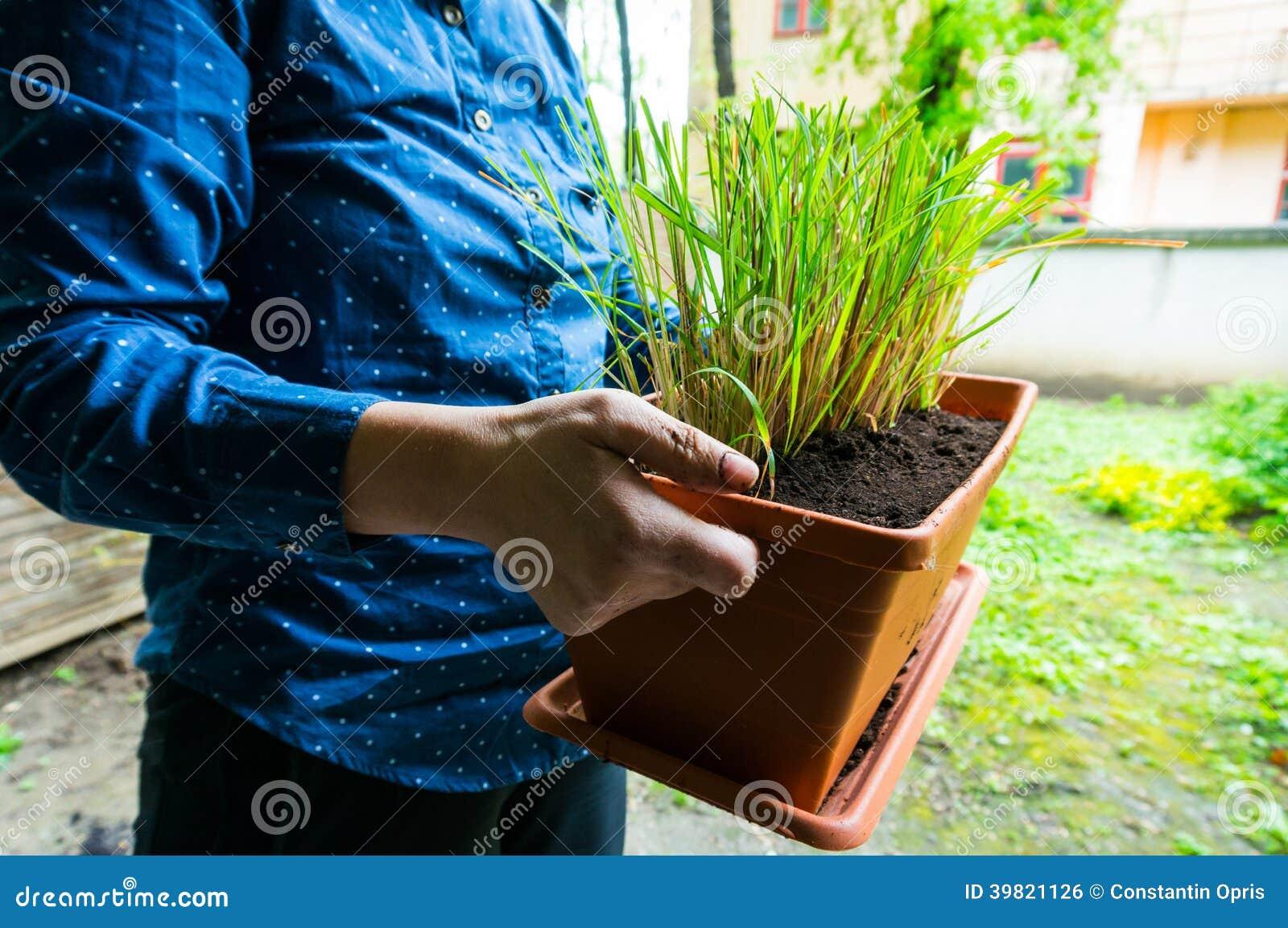 Lemongrass in flowerpot