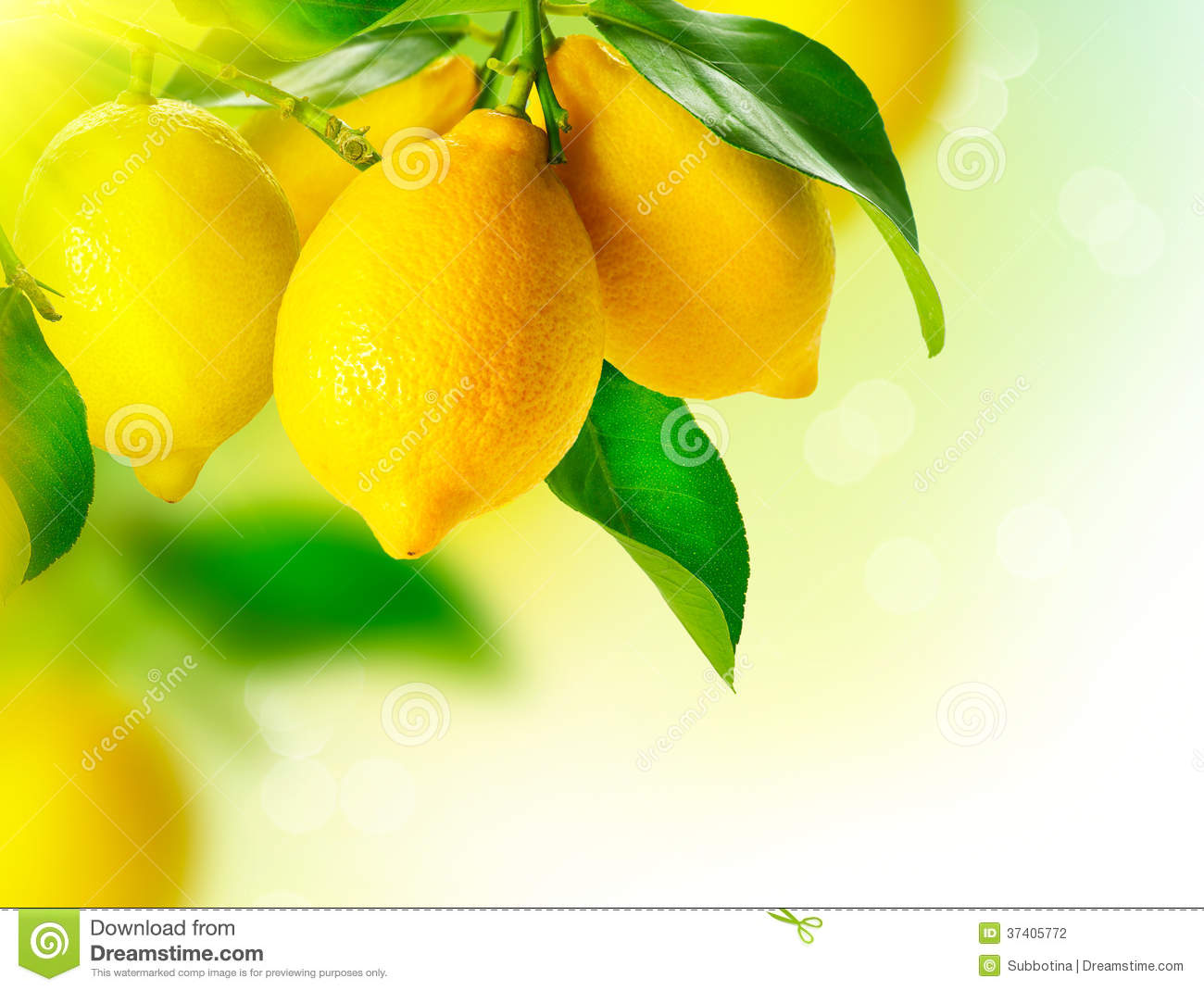 Lemons Hanging on a Lemon tree