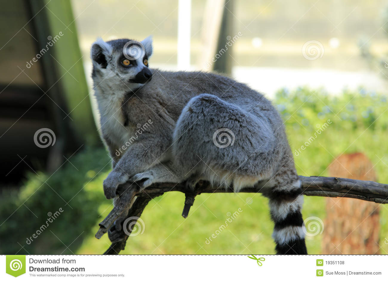 Lemur atado anel