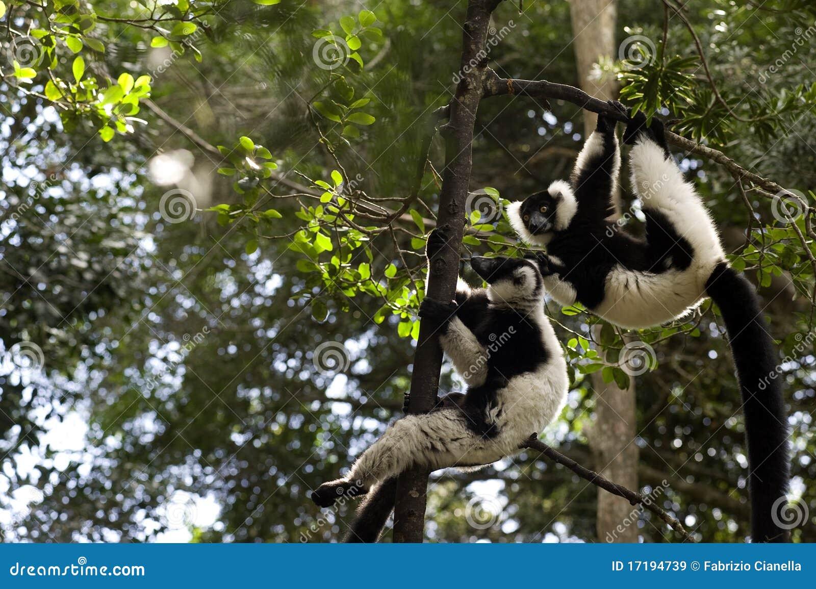 Lemur du Madagascar