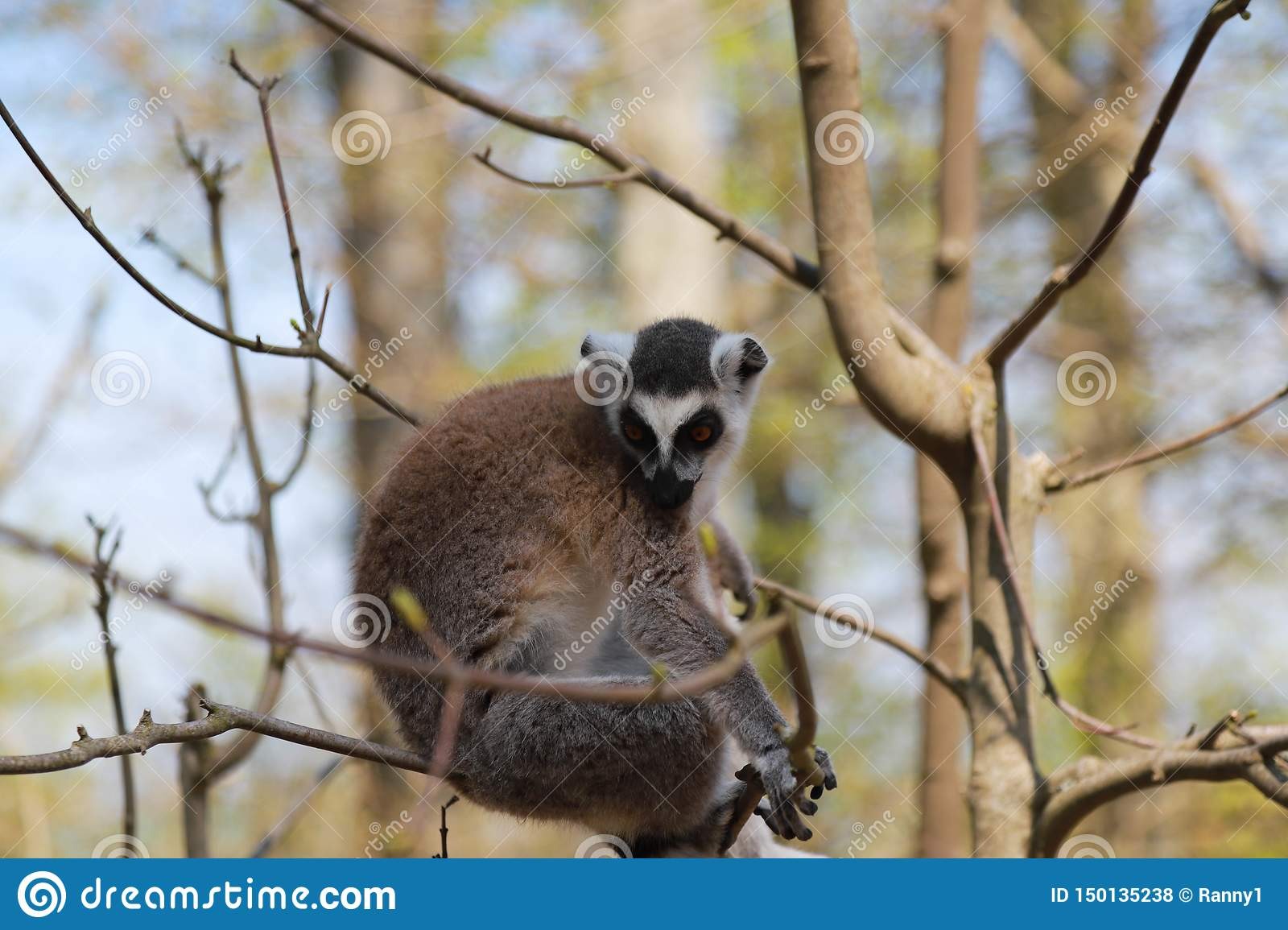 Lemur face portrait, sitting on a tree branch