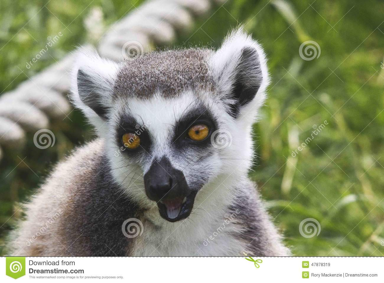 Lemur Laugh Stock Photo - Image: 47878319 - photo#47