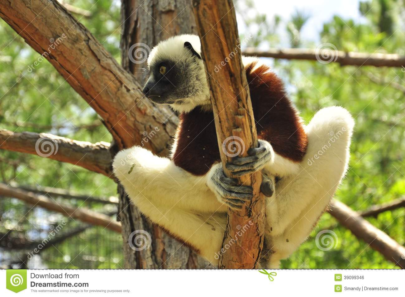Lemur Of Madagascar In A Tree Endemic Species Stock Photo