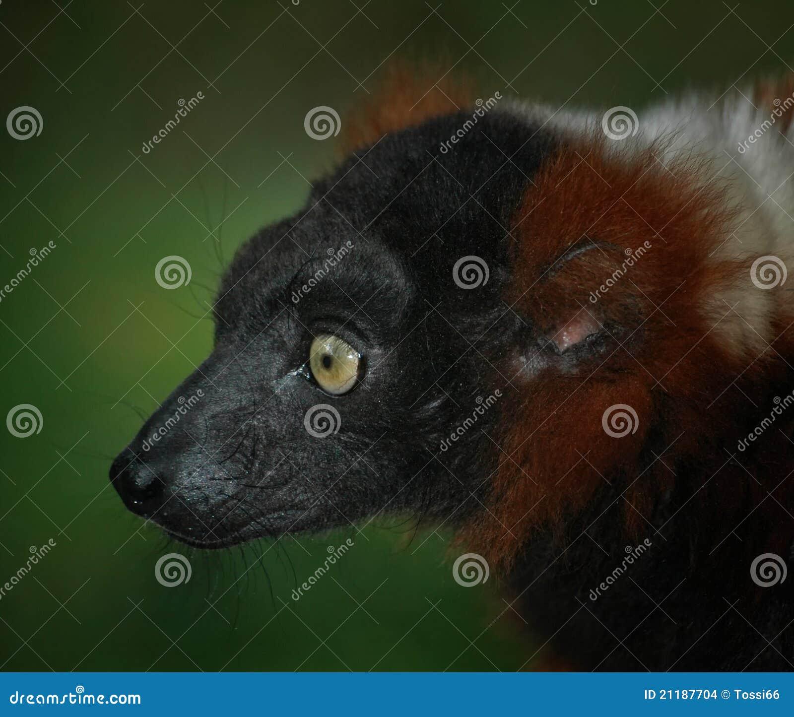 Lemur - red vari