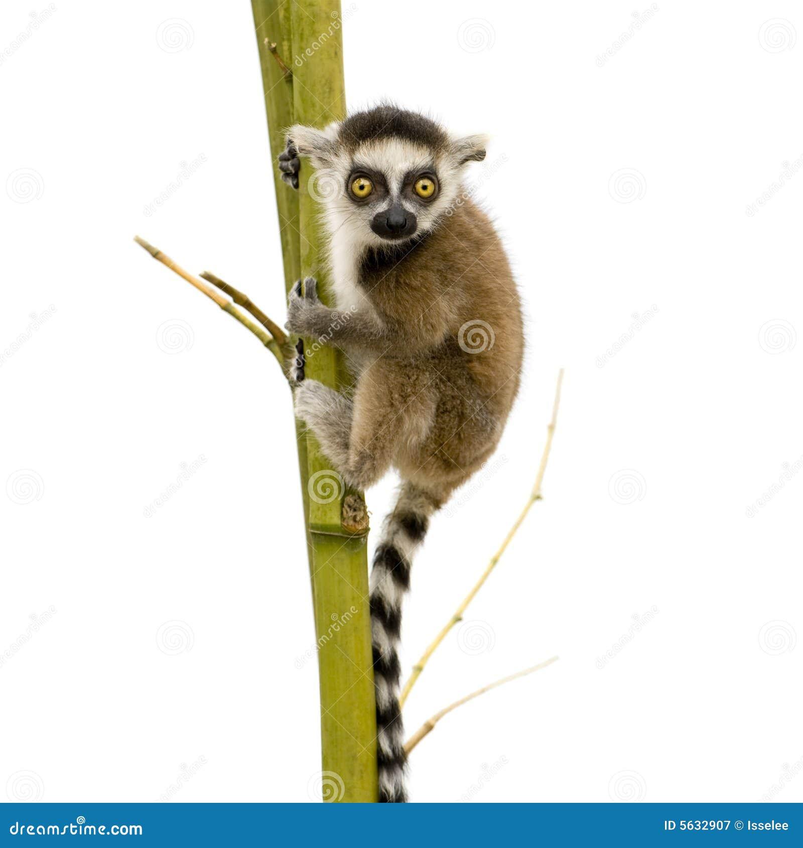 Lemur Ring-tailed (6 semaines) - catta de Lemur