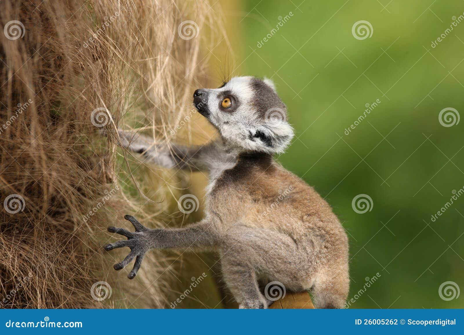 Lemur Ring-Tailed de chéri